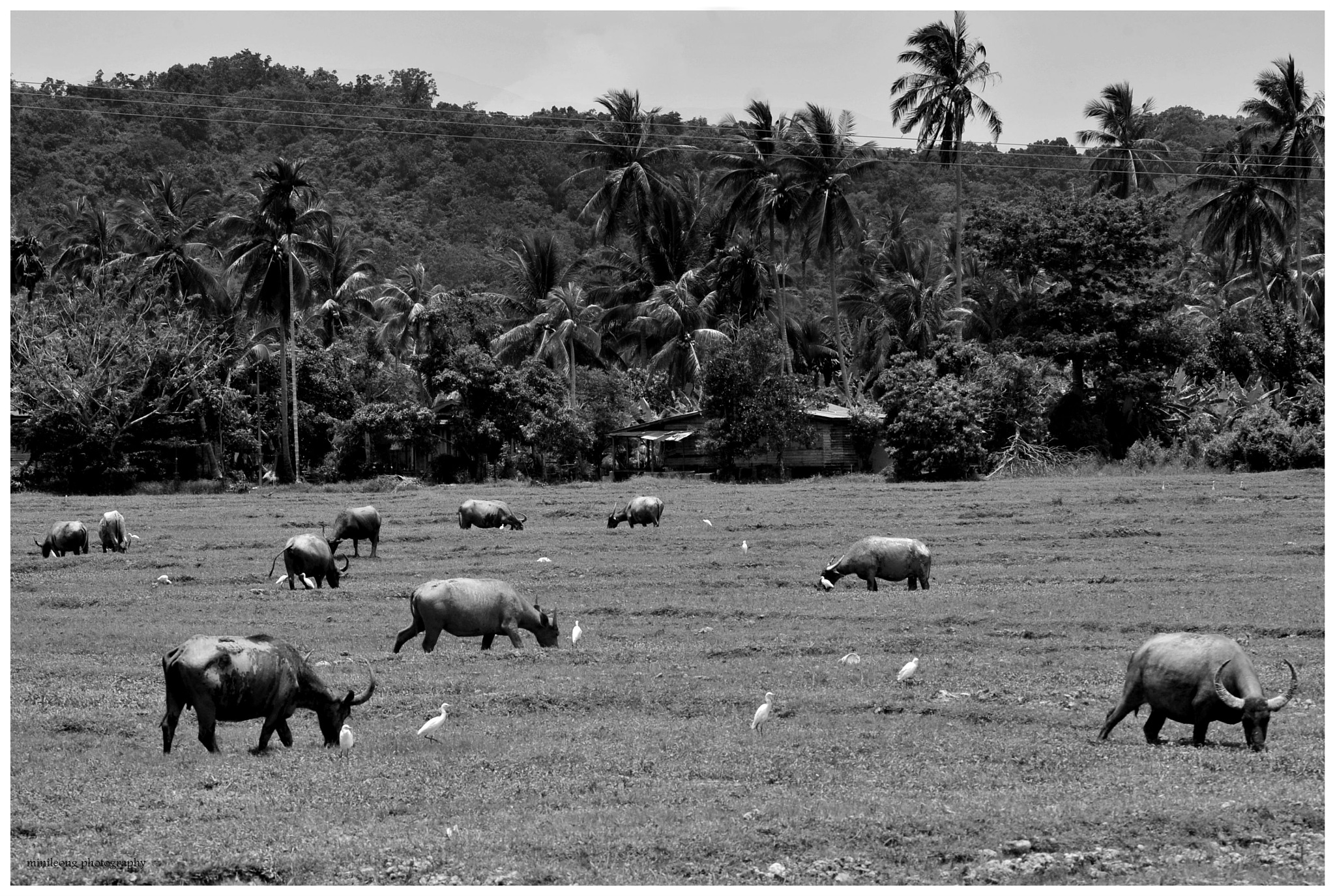 Beauty of Malaysia 07: Rural Malay village with buffalo relax on field by minileong