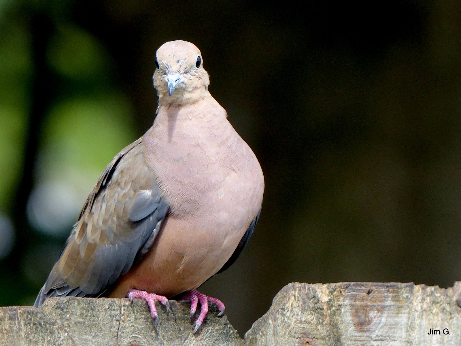 Dove looking at me by Jim Graham