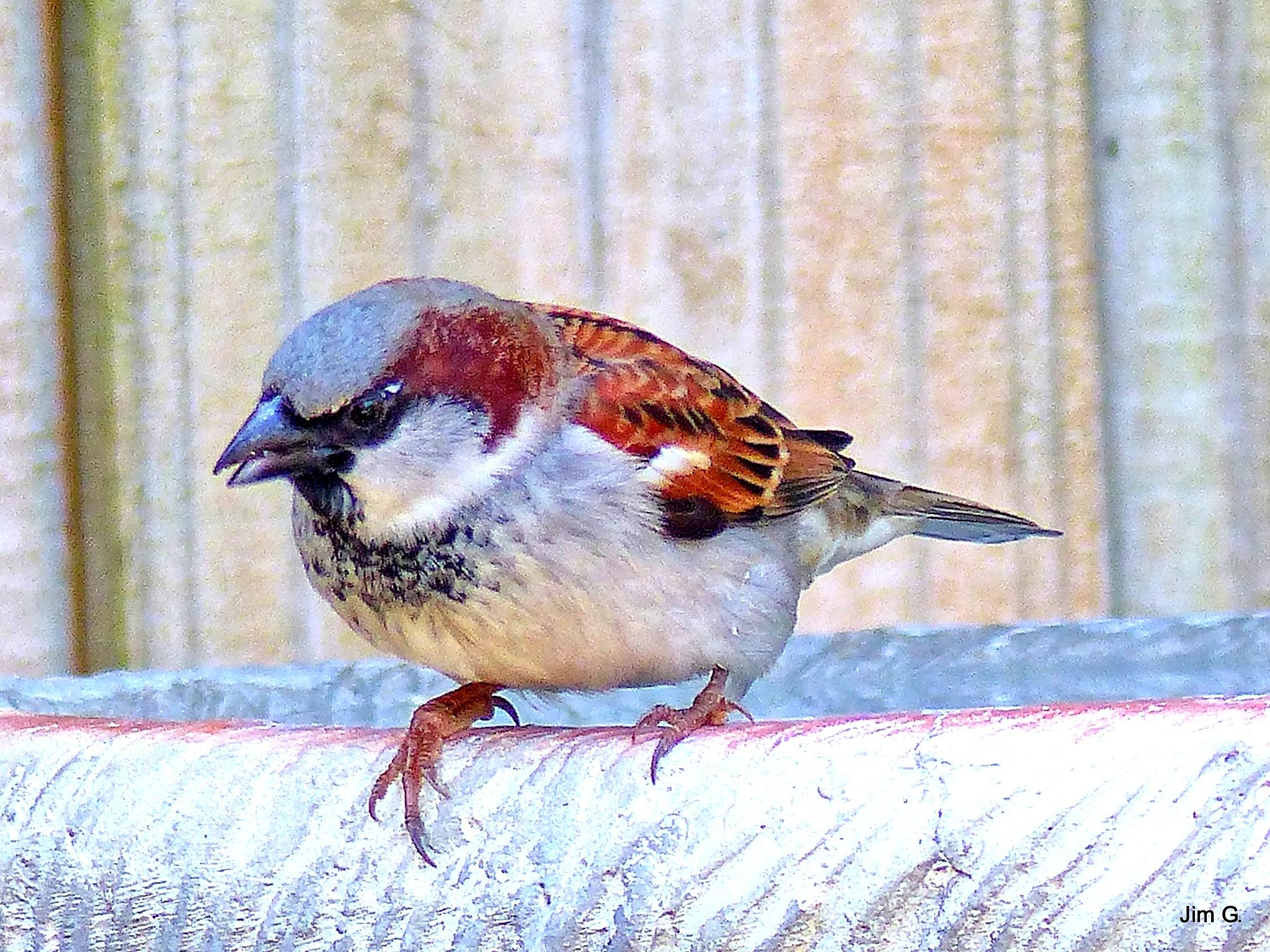 House Sparrow on bird bath by Jim Graham