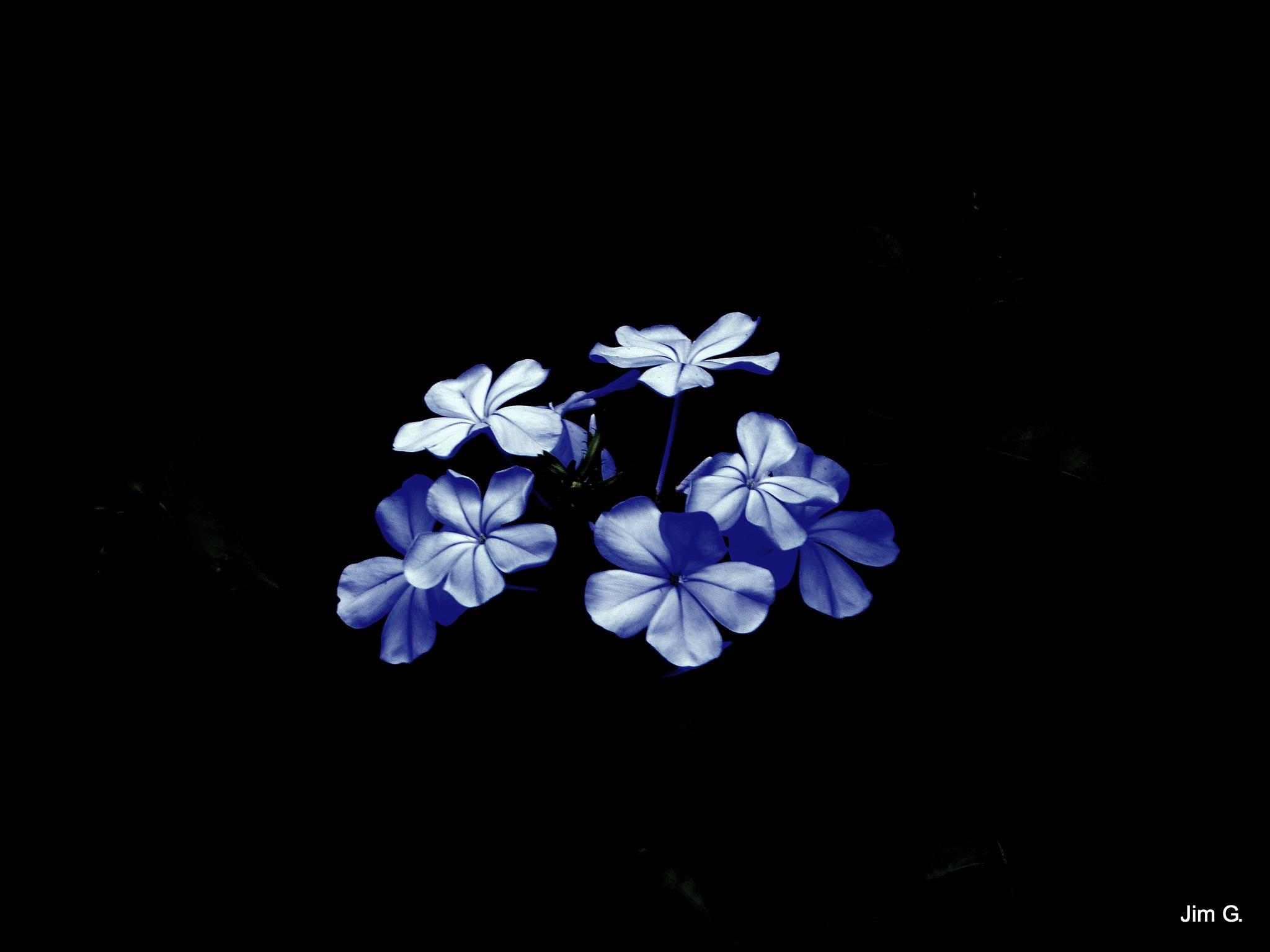 Plumbago blooms by Jim Graham