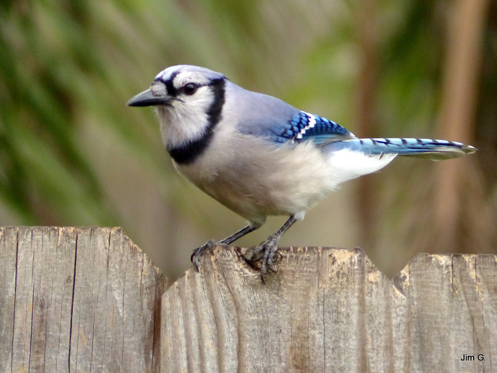 Bluejay checking the camera out by Jim Graham