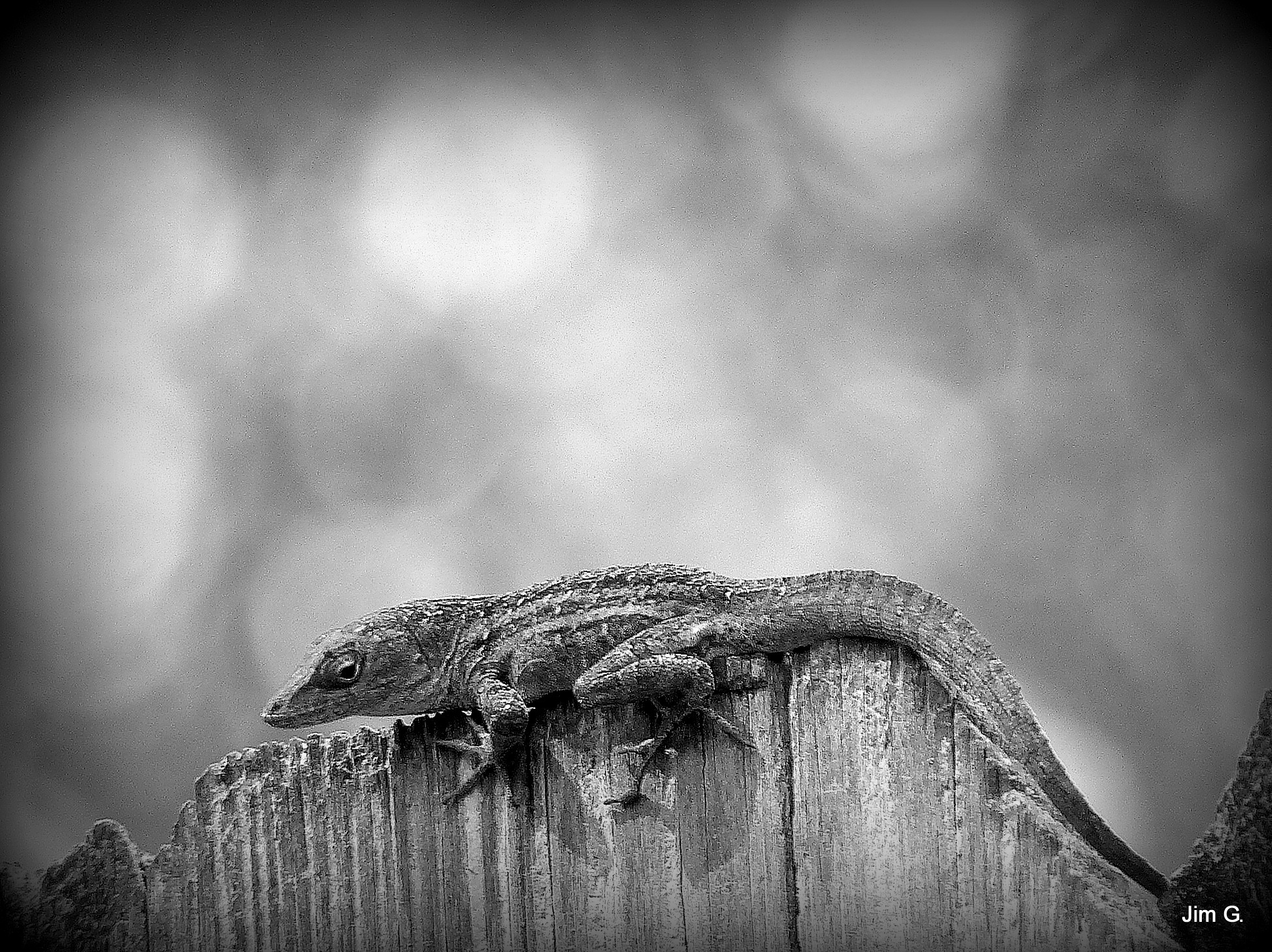 Lizard in Black and White by Jim Graham