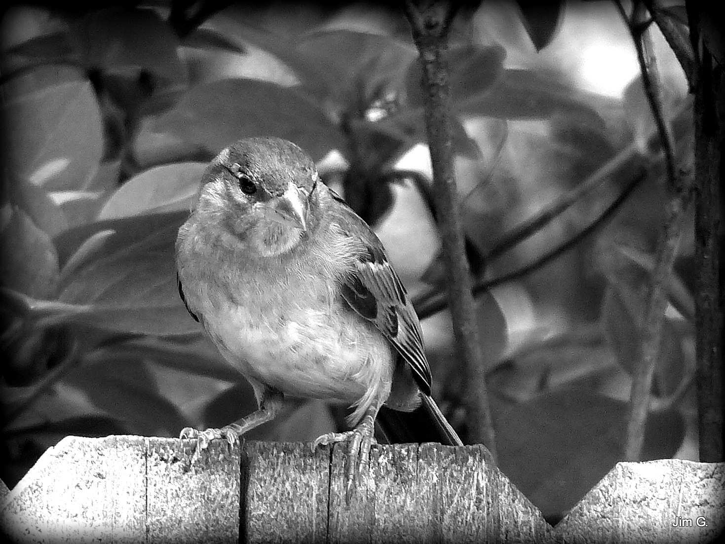 Female Sparrow in Black and White by Jim Graham