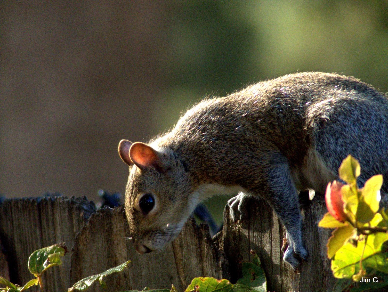 Squirrel Ready To Leap by Jim Graham