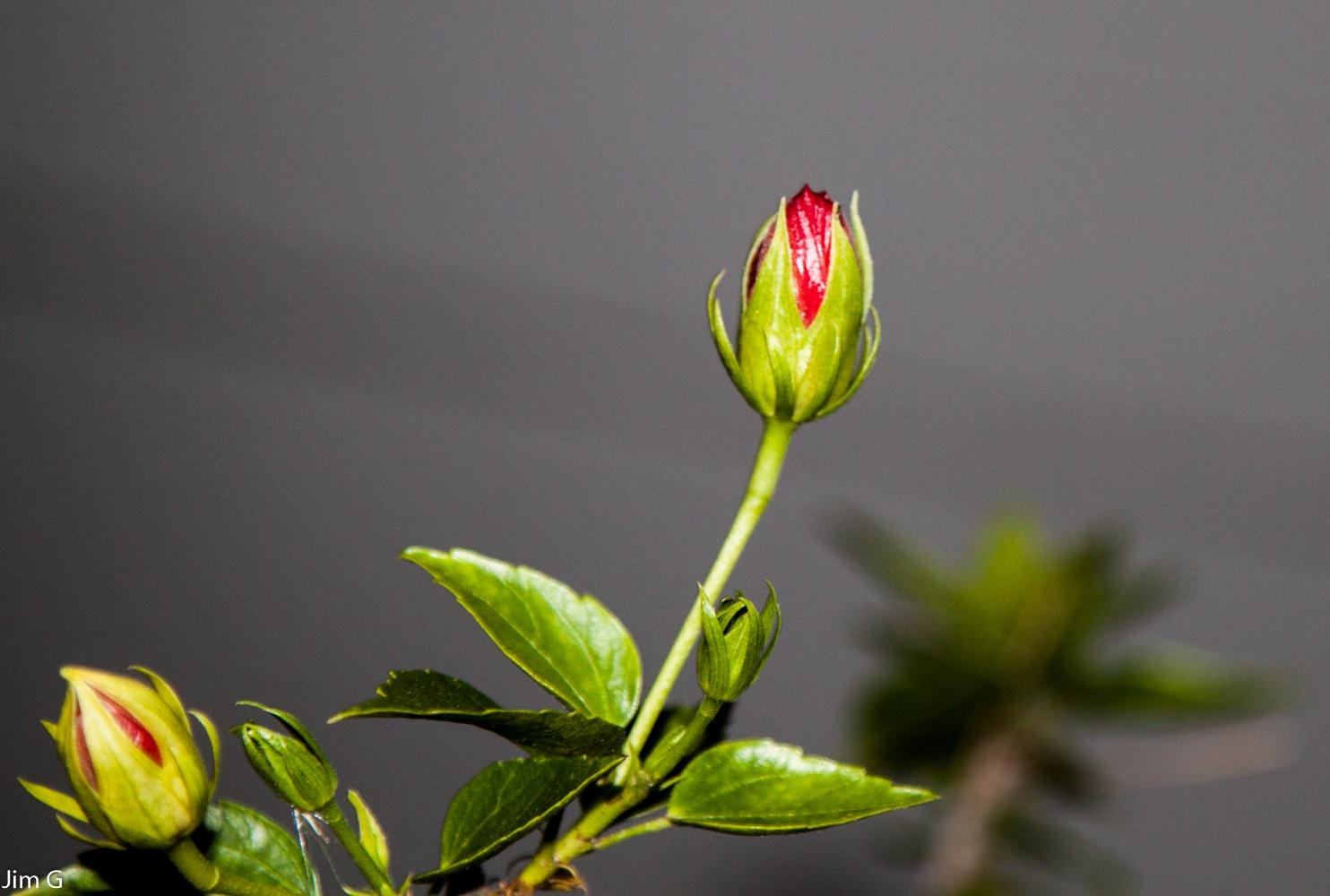 Hibiscus Bud by Jim Graham
