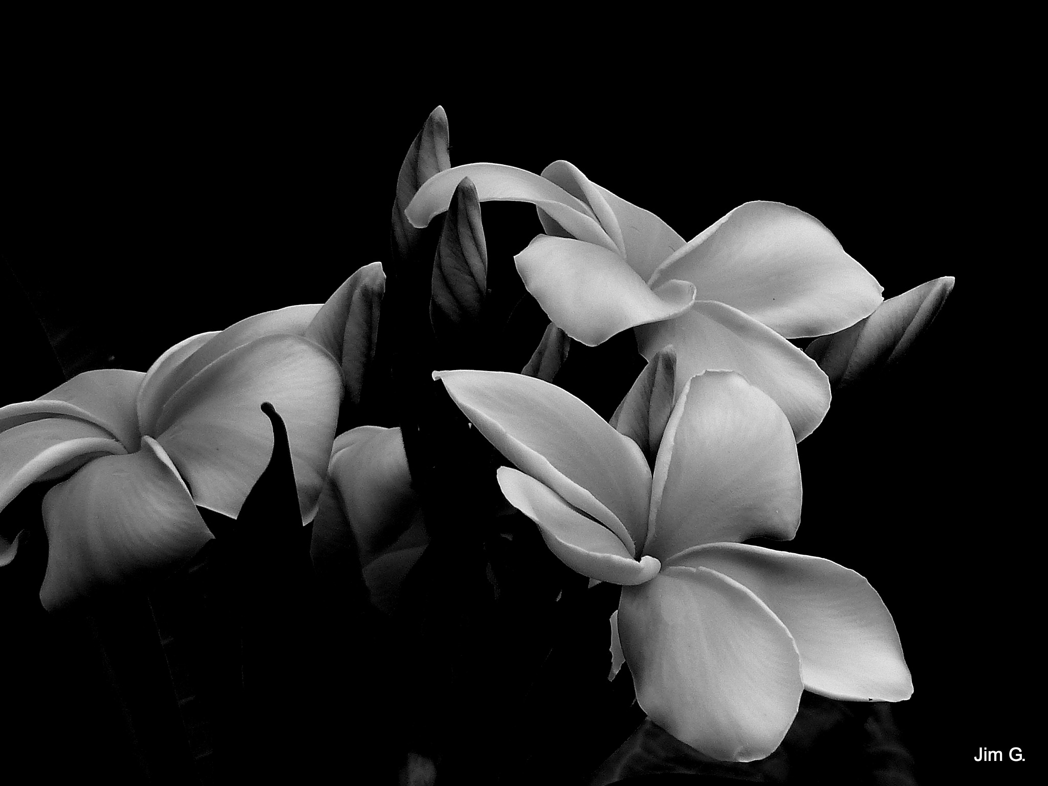 Plumera in Black and White by Jim Graham