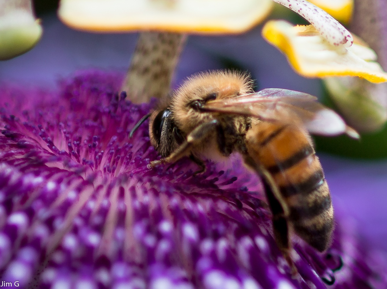Bee getting nectar from a purple passion flower bloom by Jim Graham