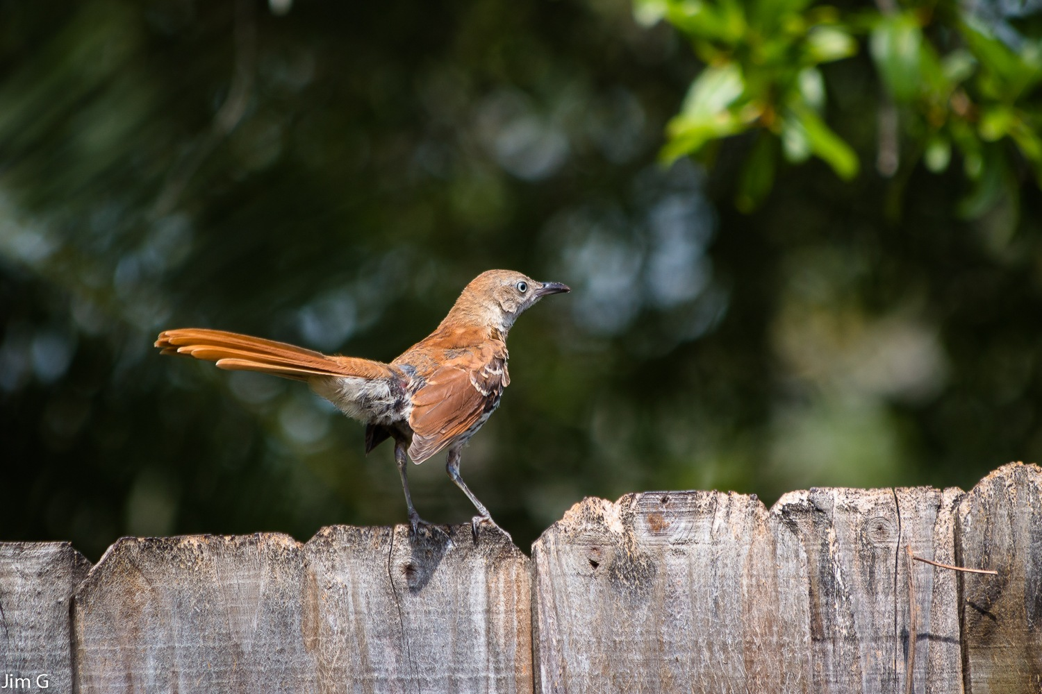 Brown Thrasher by Jim Graham
