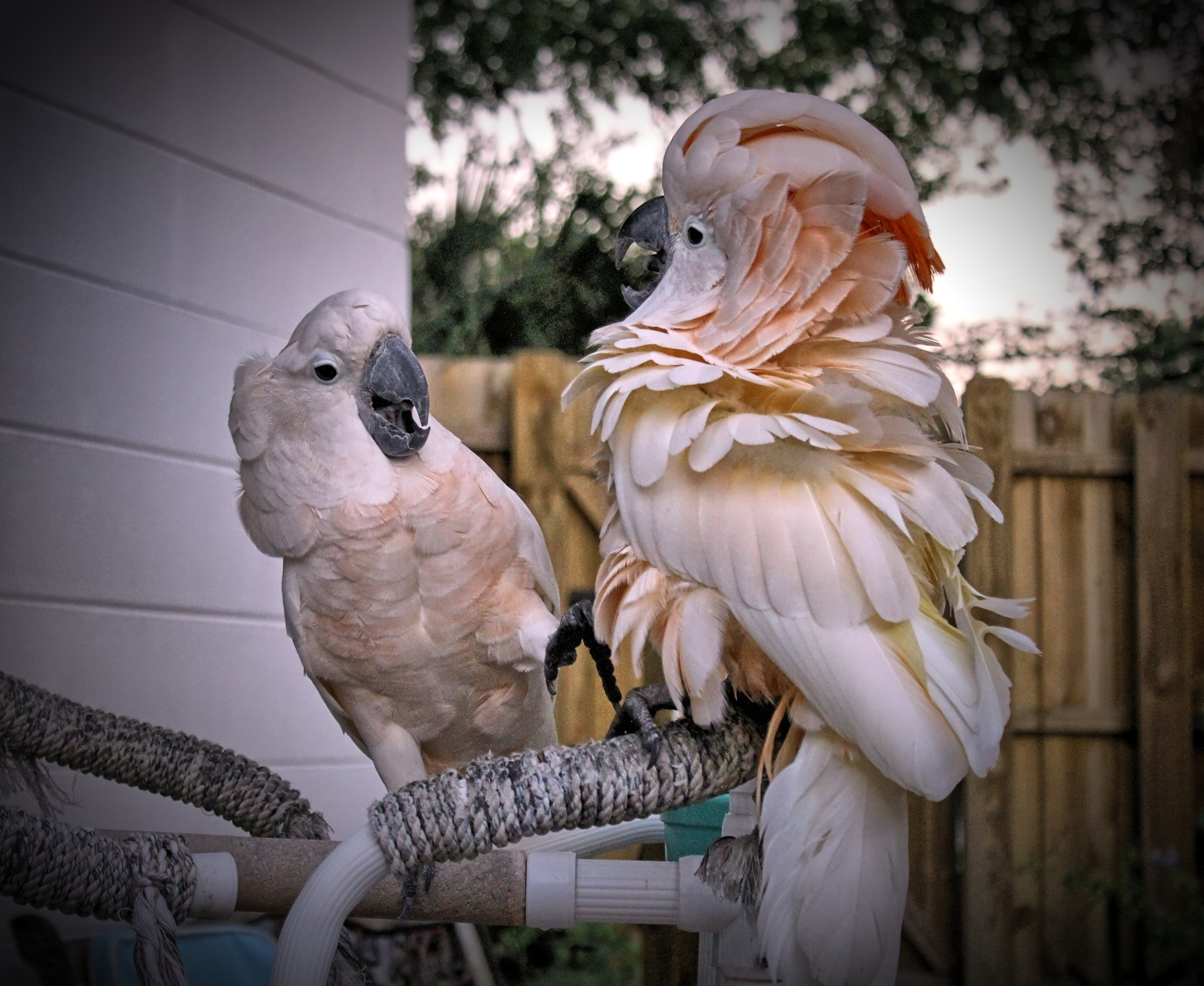 Two Moluccan Cockatoos Meeting For the First Time by Jim Graham