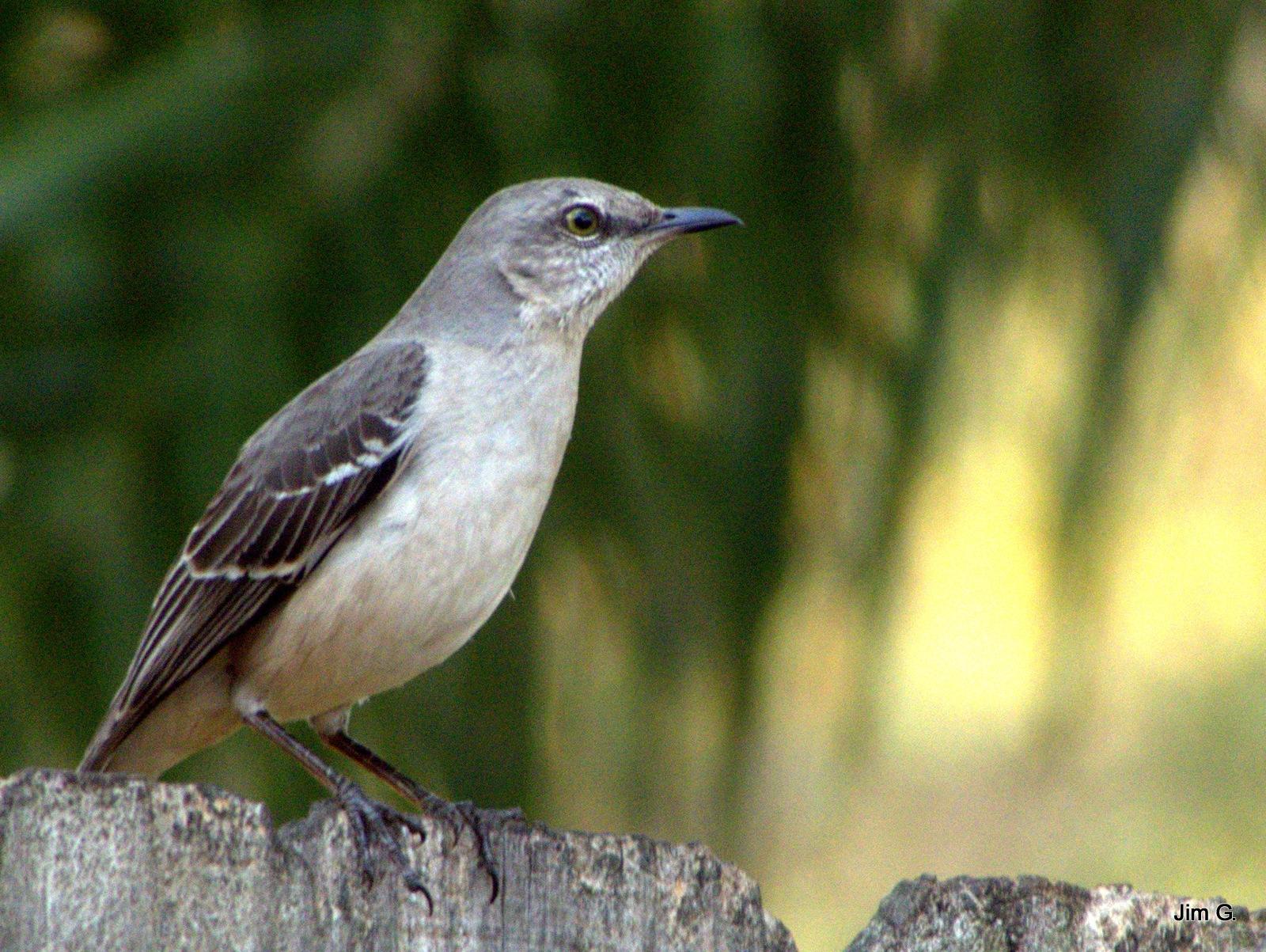 Mockingbird by Jim Graham