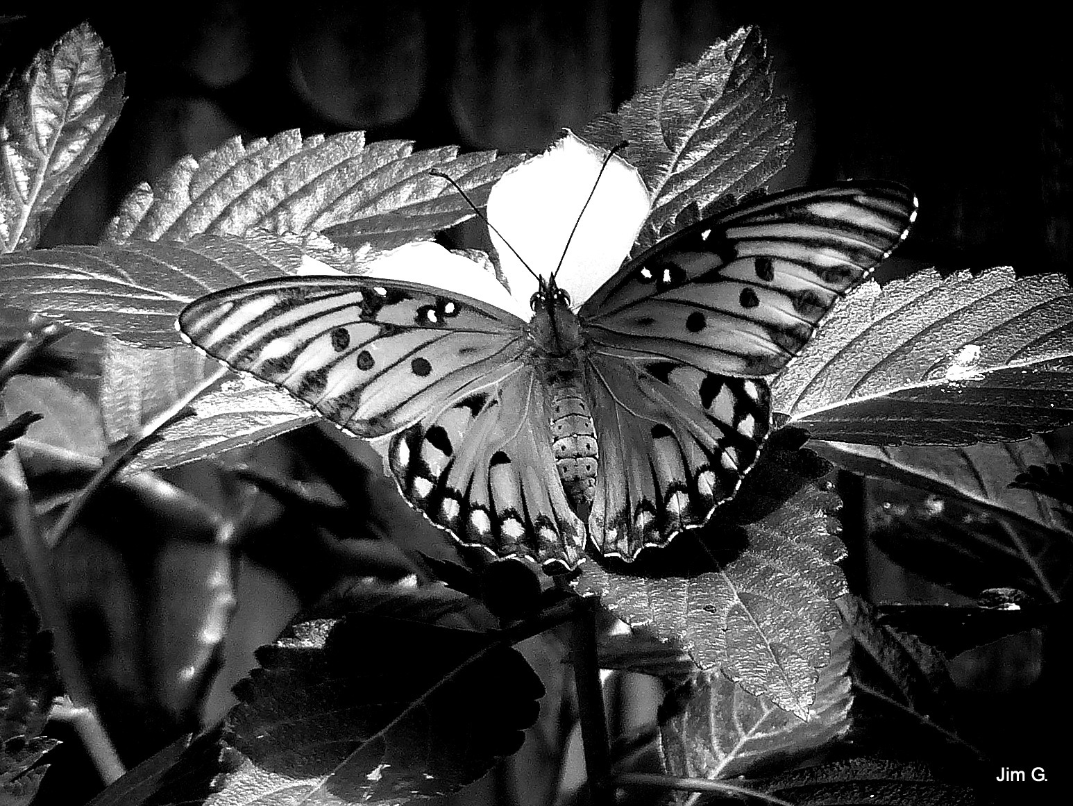 Butterfly in Black and White by Jim Graham