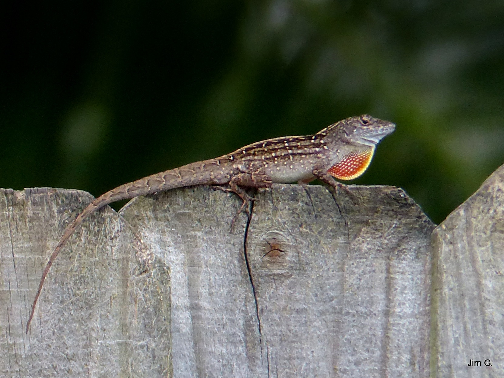 Lizard on Fence by Jim Graham