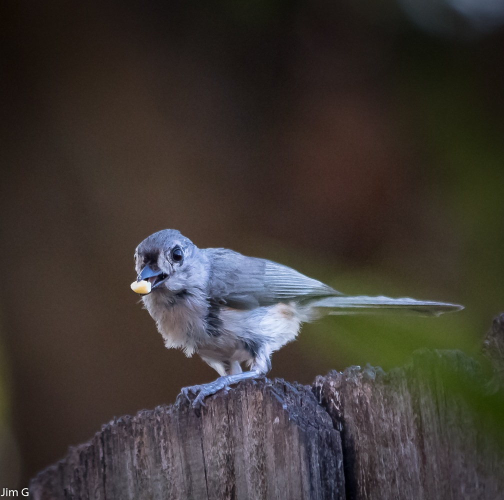 Tufted titmouse with peanut by Jim Graham