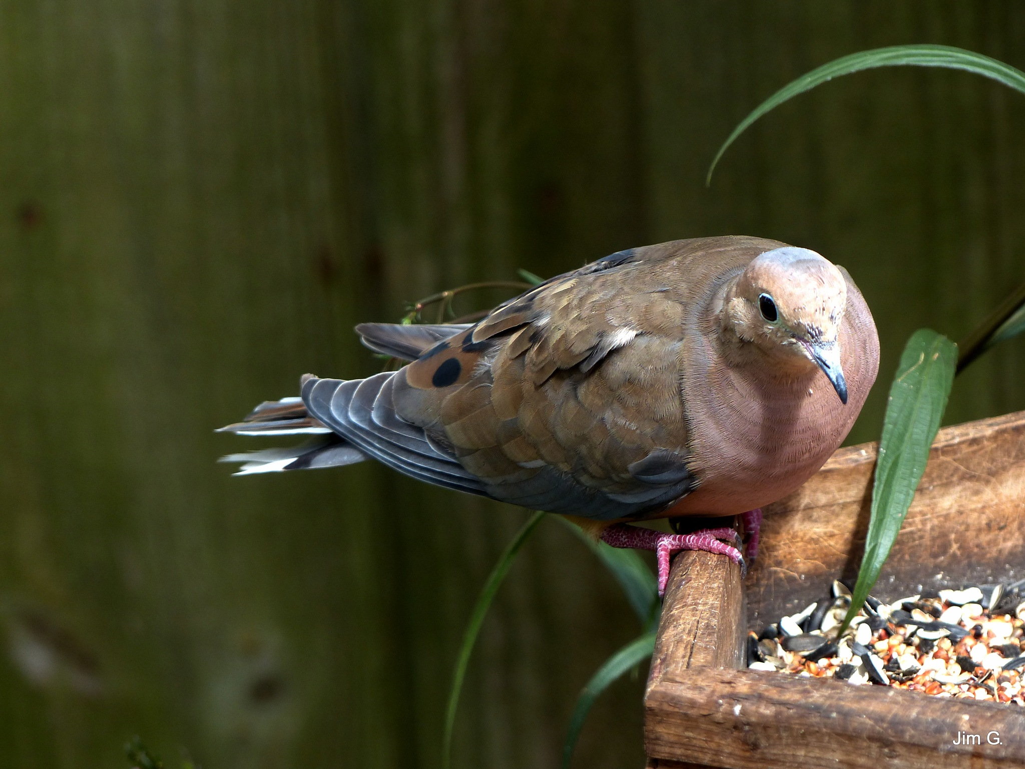 Mourning Dove on Bird Feeder by Jim Graham