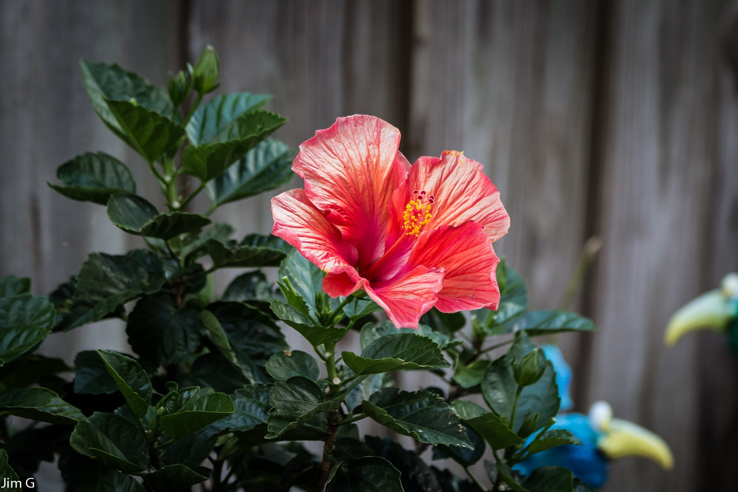 Hibiscus Bloom by Jim Graham