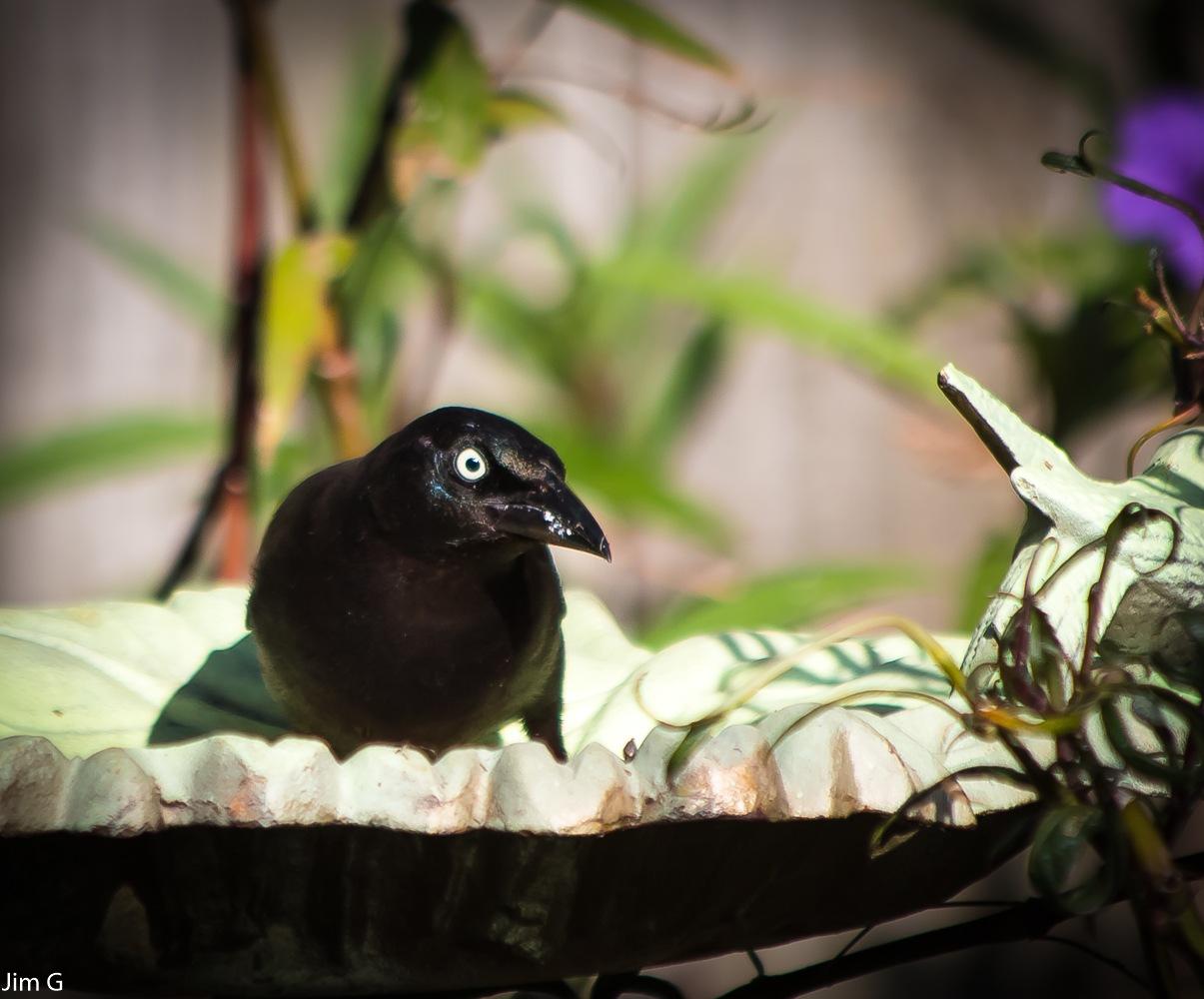 Grackle in metal bird feeder by Jim Graham