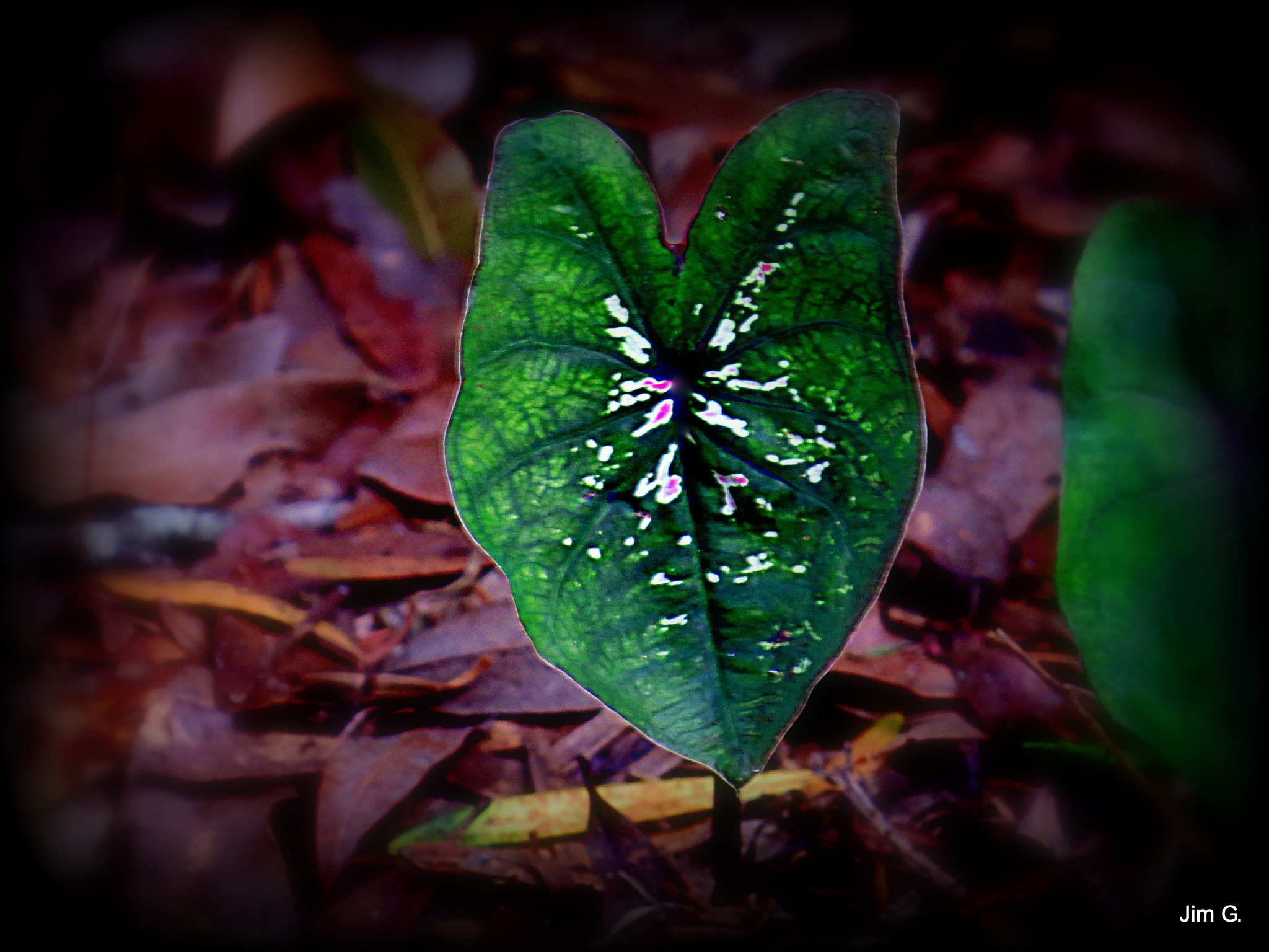 Caladium Leaf by Jim Graham