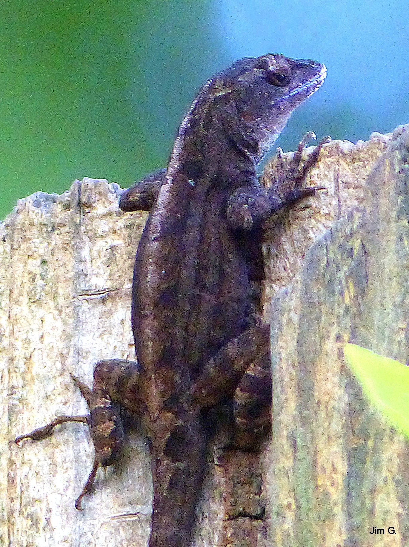 Lizard looking over the fence by Jim Graham