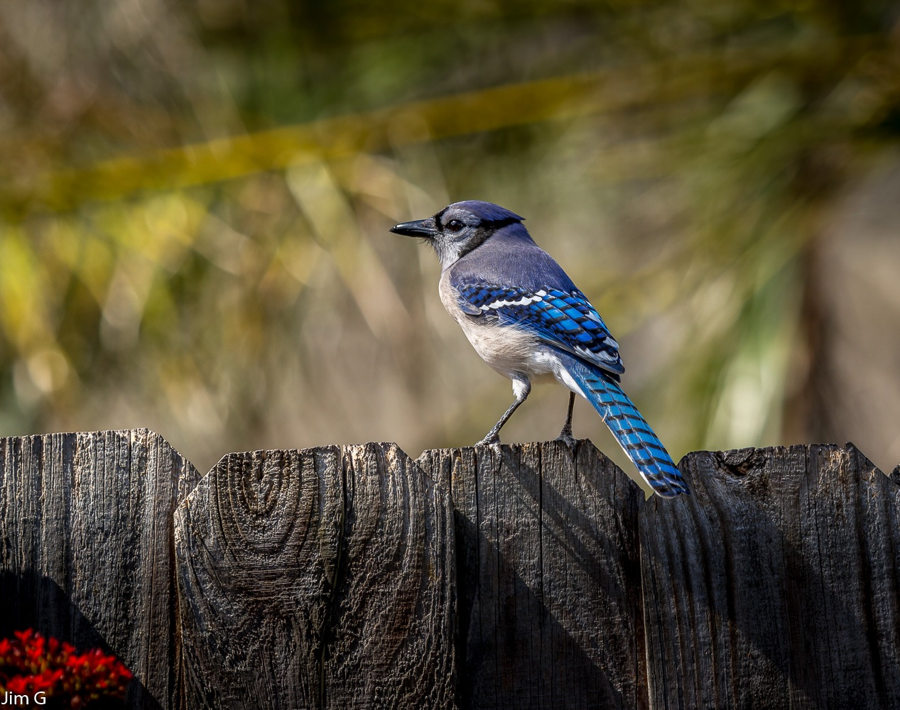Bluejay with colorful background by Jim Graham