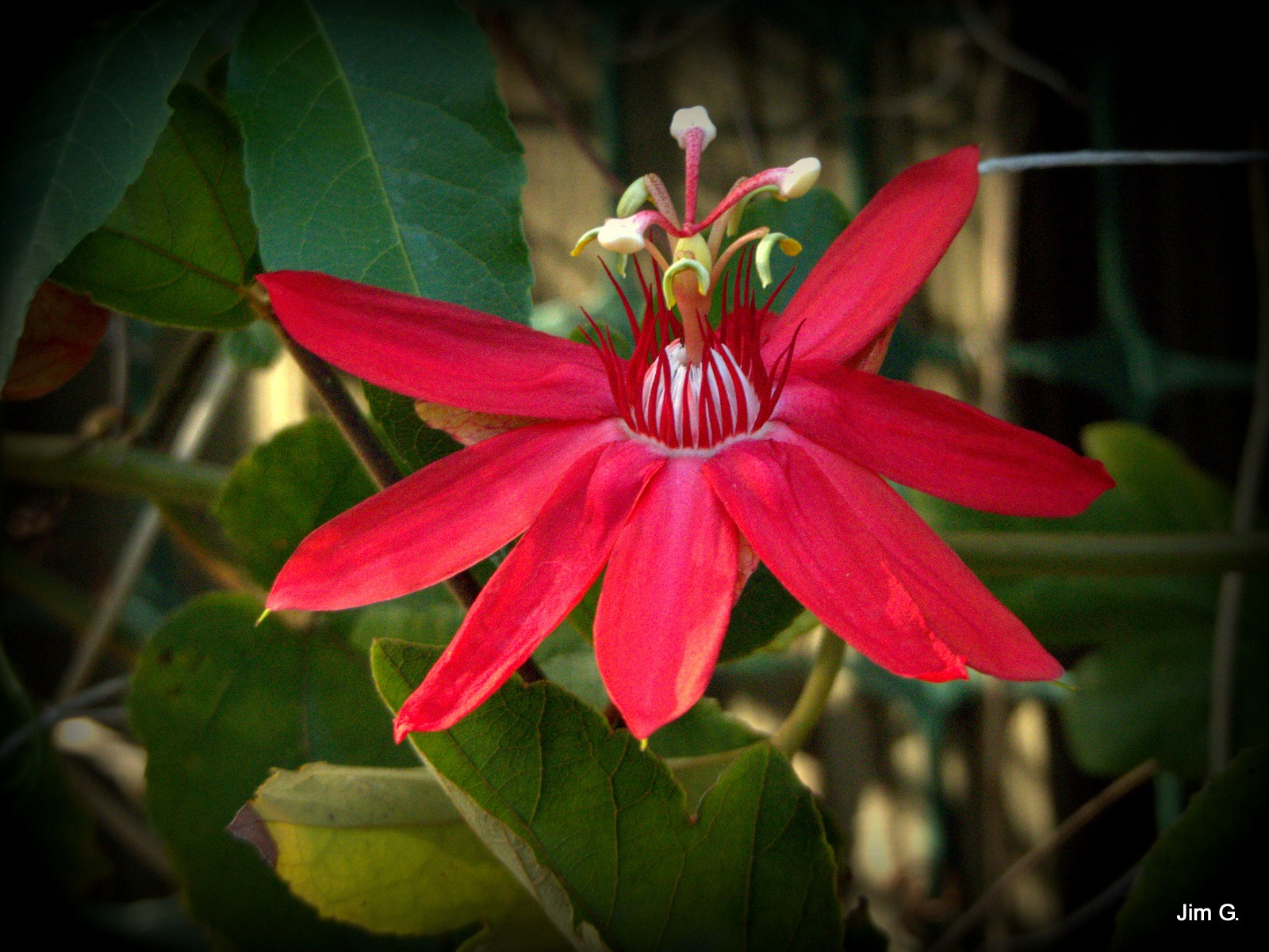 Second Passion Flower Bloom This Year by Jim Graham
