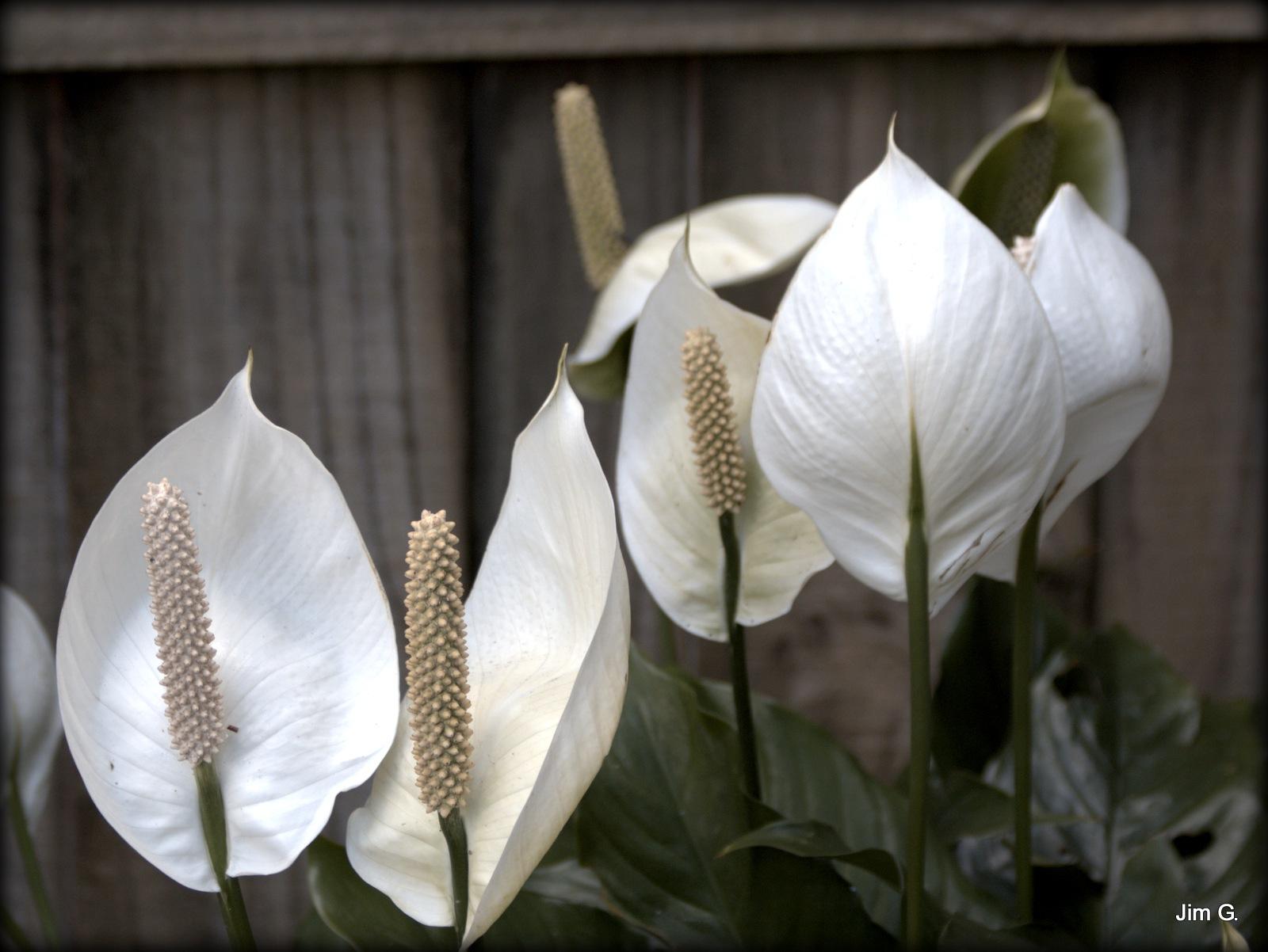 Peace Plant by Jim Graham