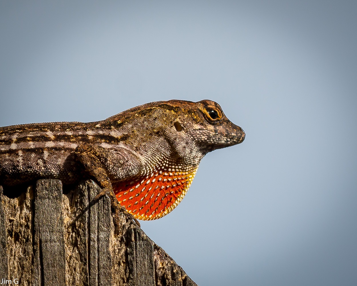 Lizard Macro by Jim Graham