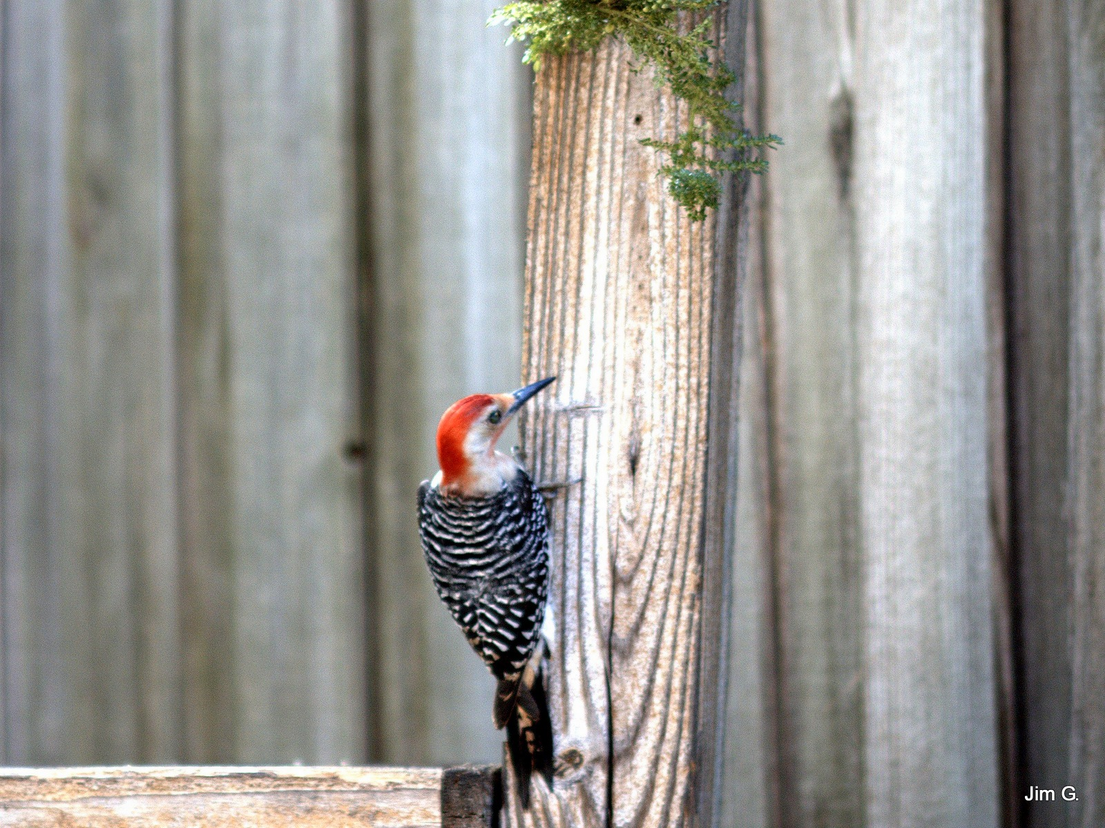 Red Bellied Woodpecker by Jim Graham
