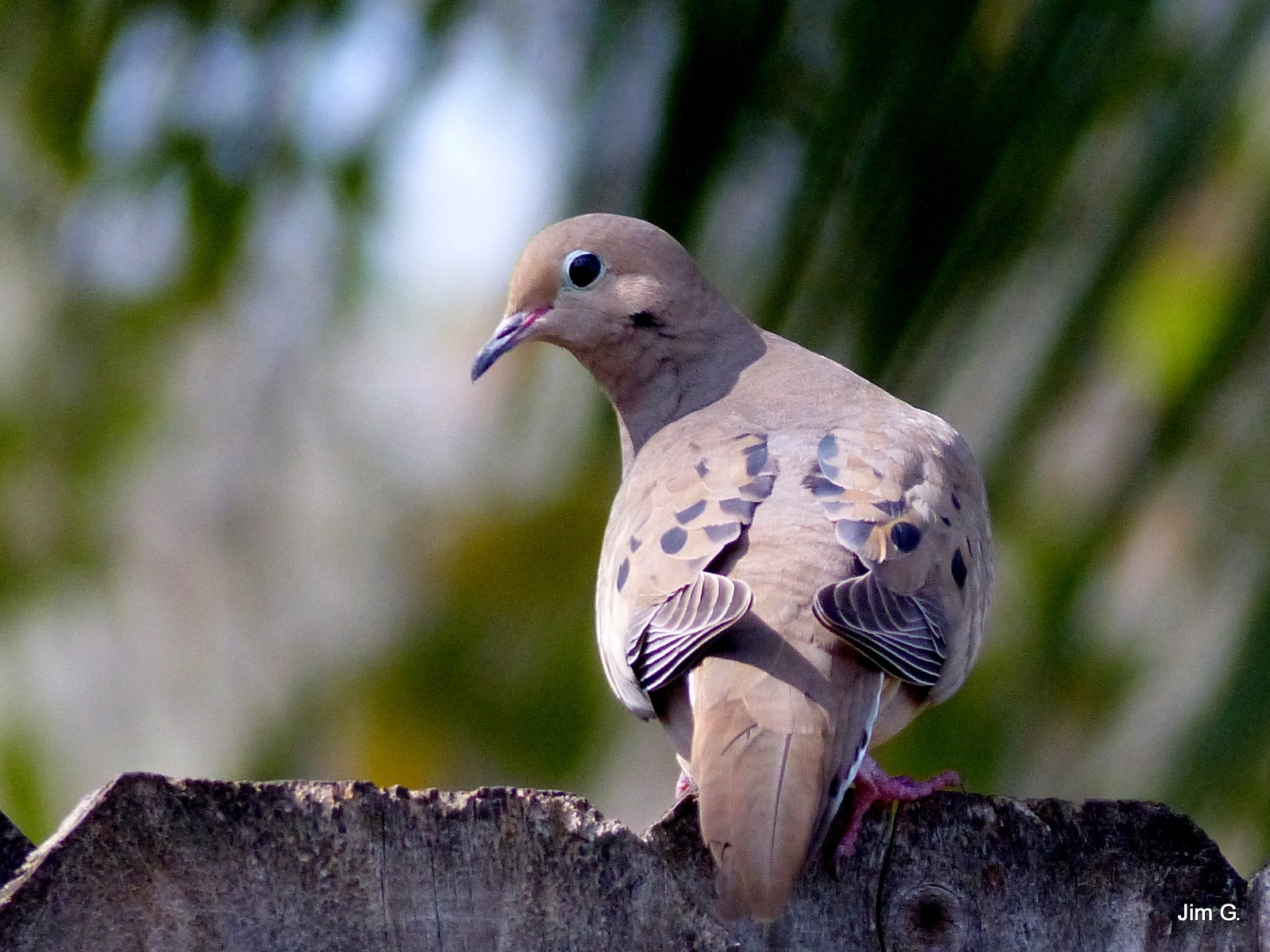 Dove watching it's mate by Jim Graham