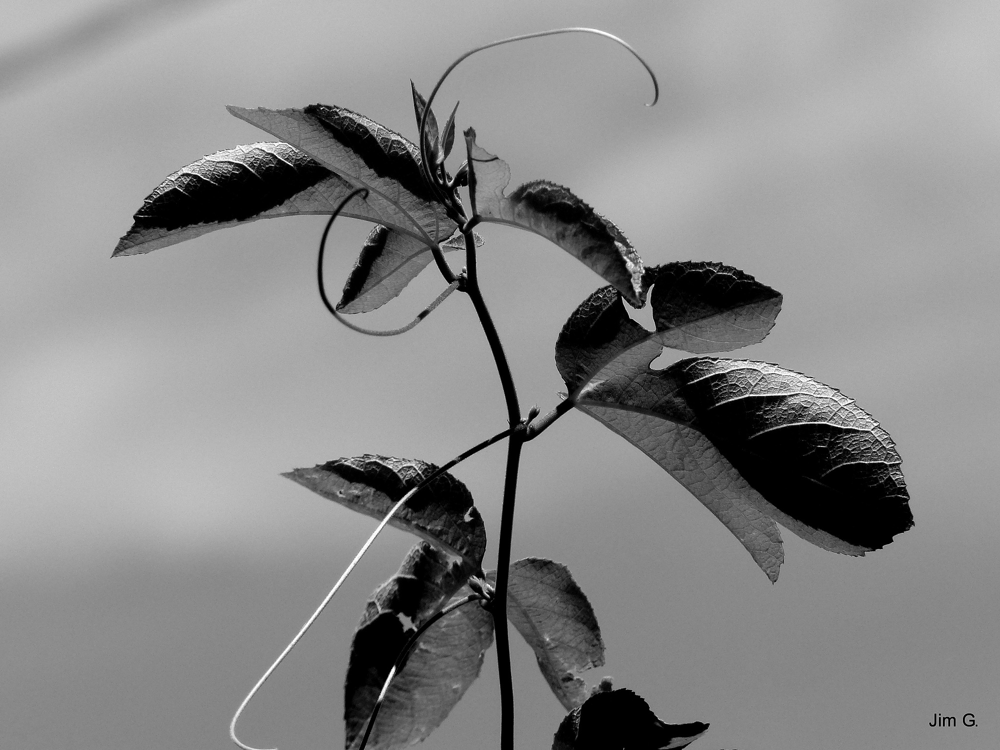 Black and White Leaves and Tendrils by Jim Graham