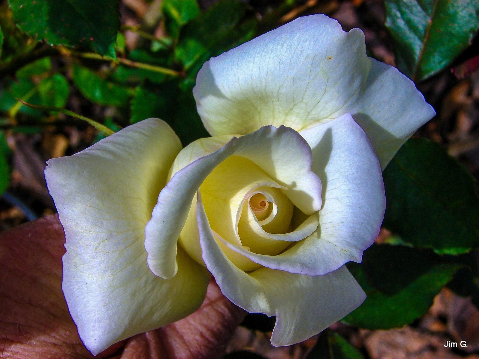 Glowing Rose taken in Friend's Garden by Jim Graham