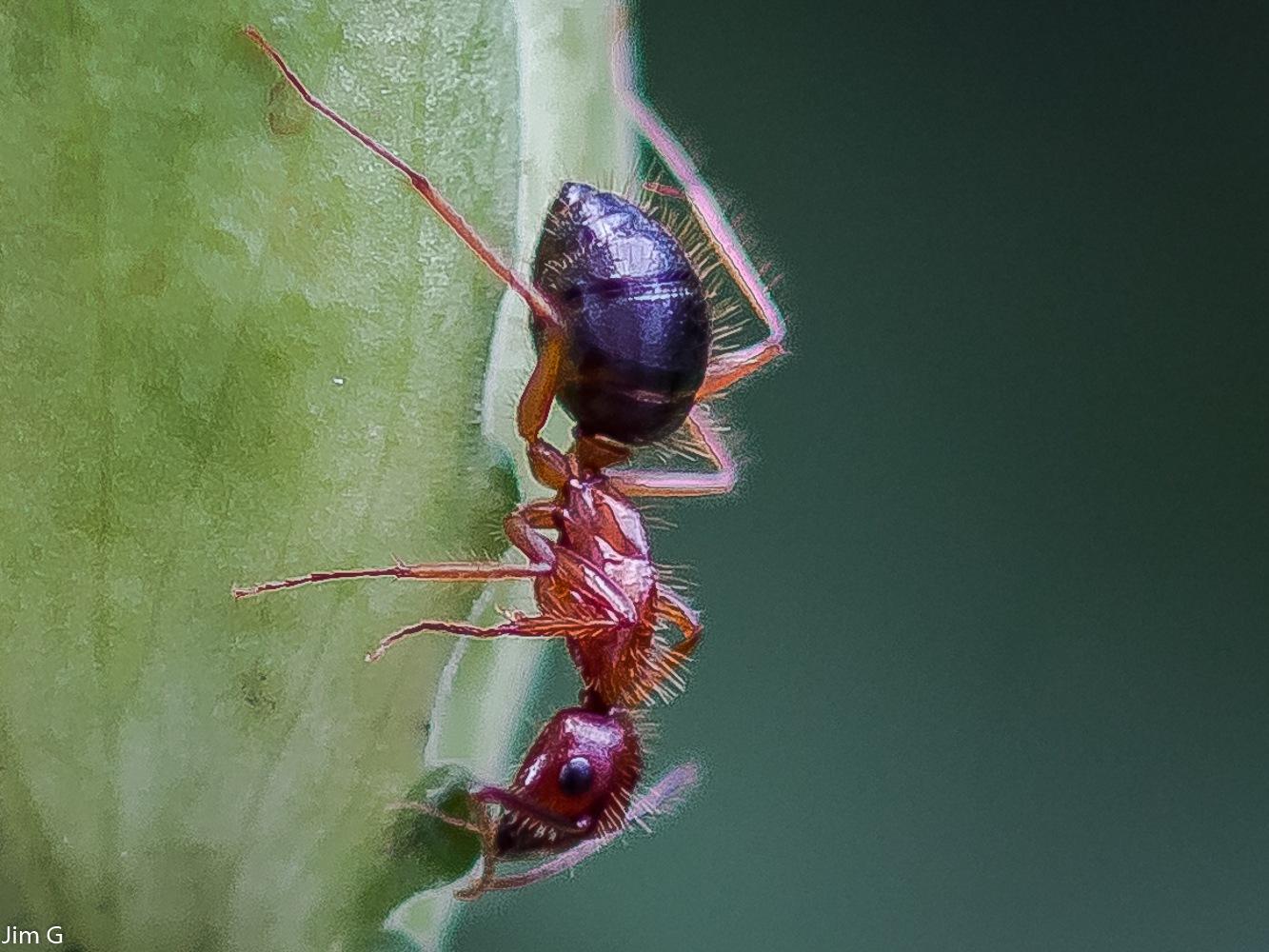 Ant Macro  by Jim Graham