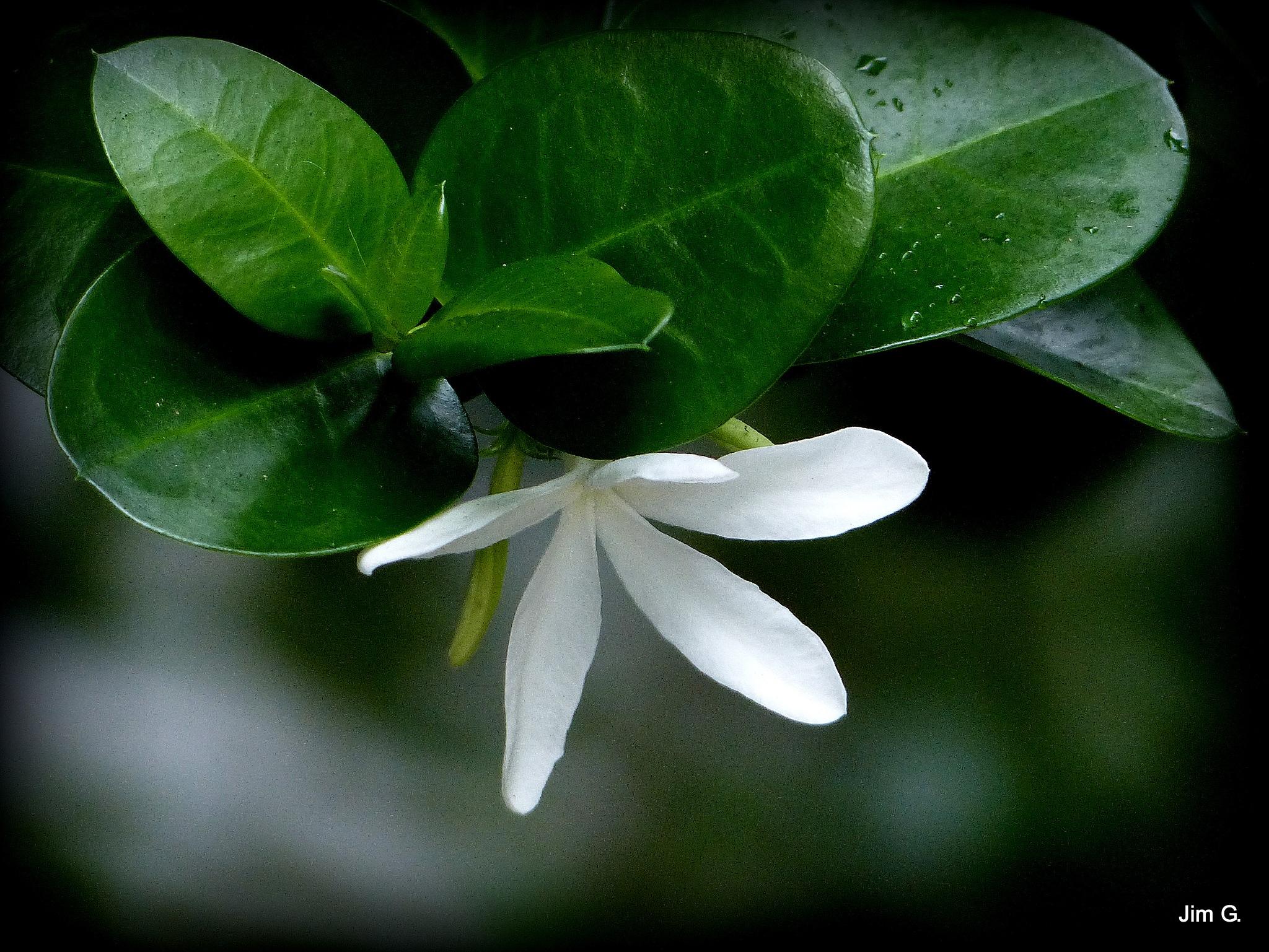 White Flower Green leaves by Jim Graham