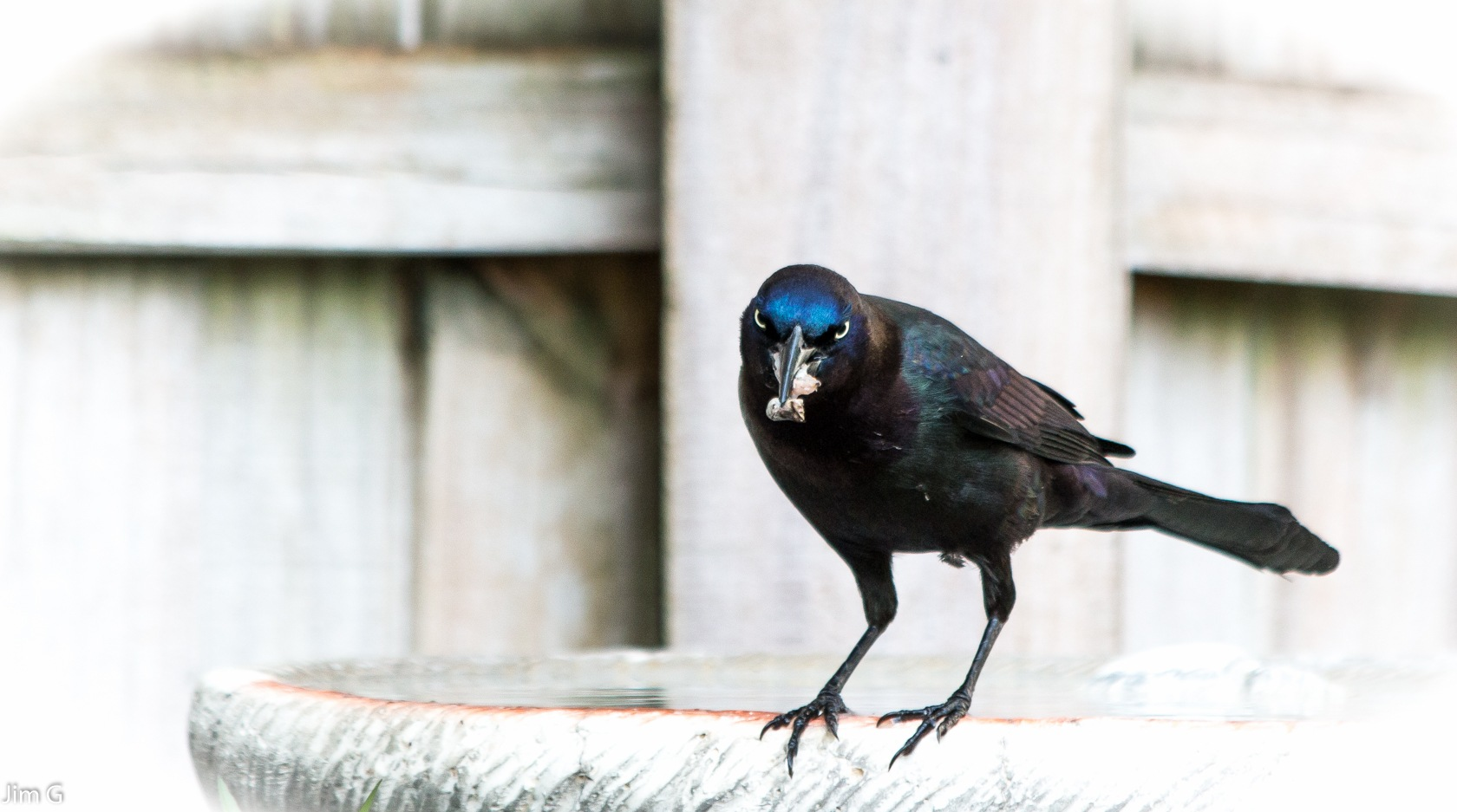 Grackle looking directly into the lens by Jim Graham