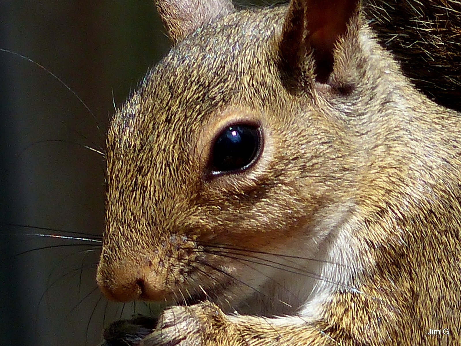 Very close up of A Squirrel 's head by Jim Graham