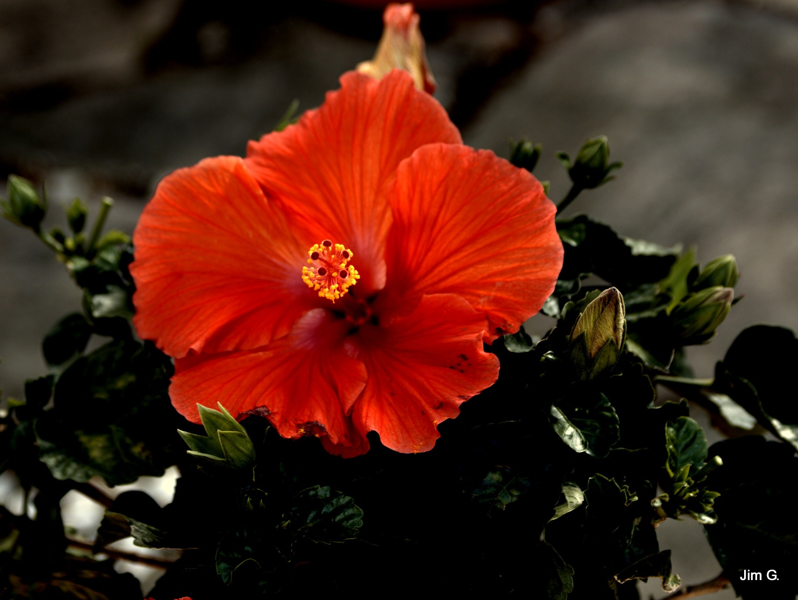 Hibiscus Bloom by Jim Graham