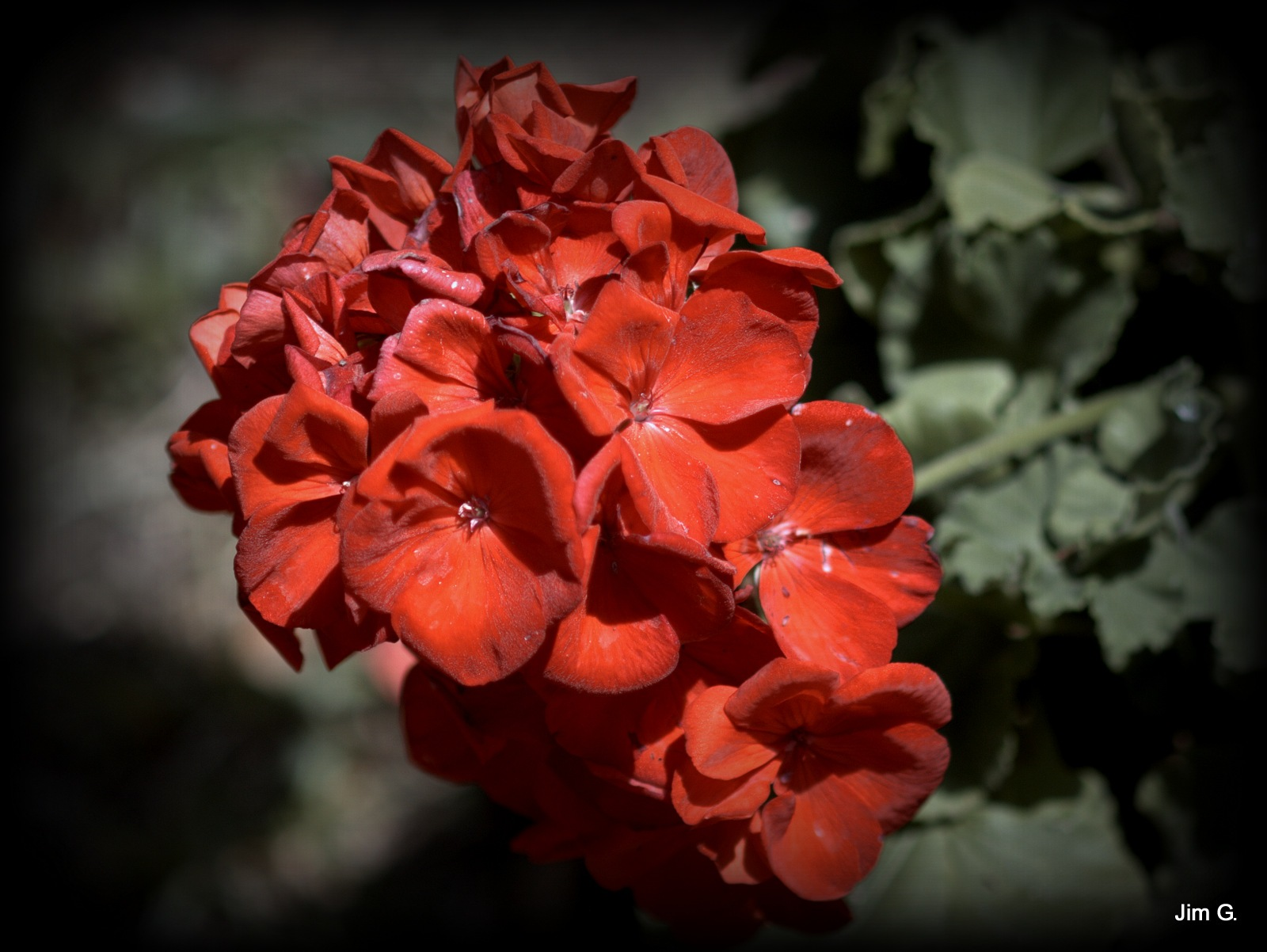 Geranium Bloom Cluster by Jim Graham
