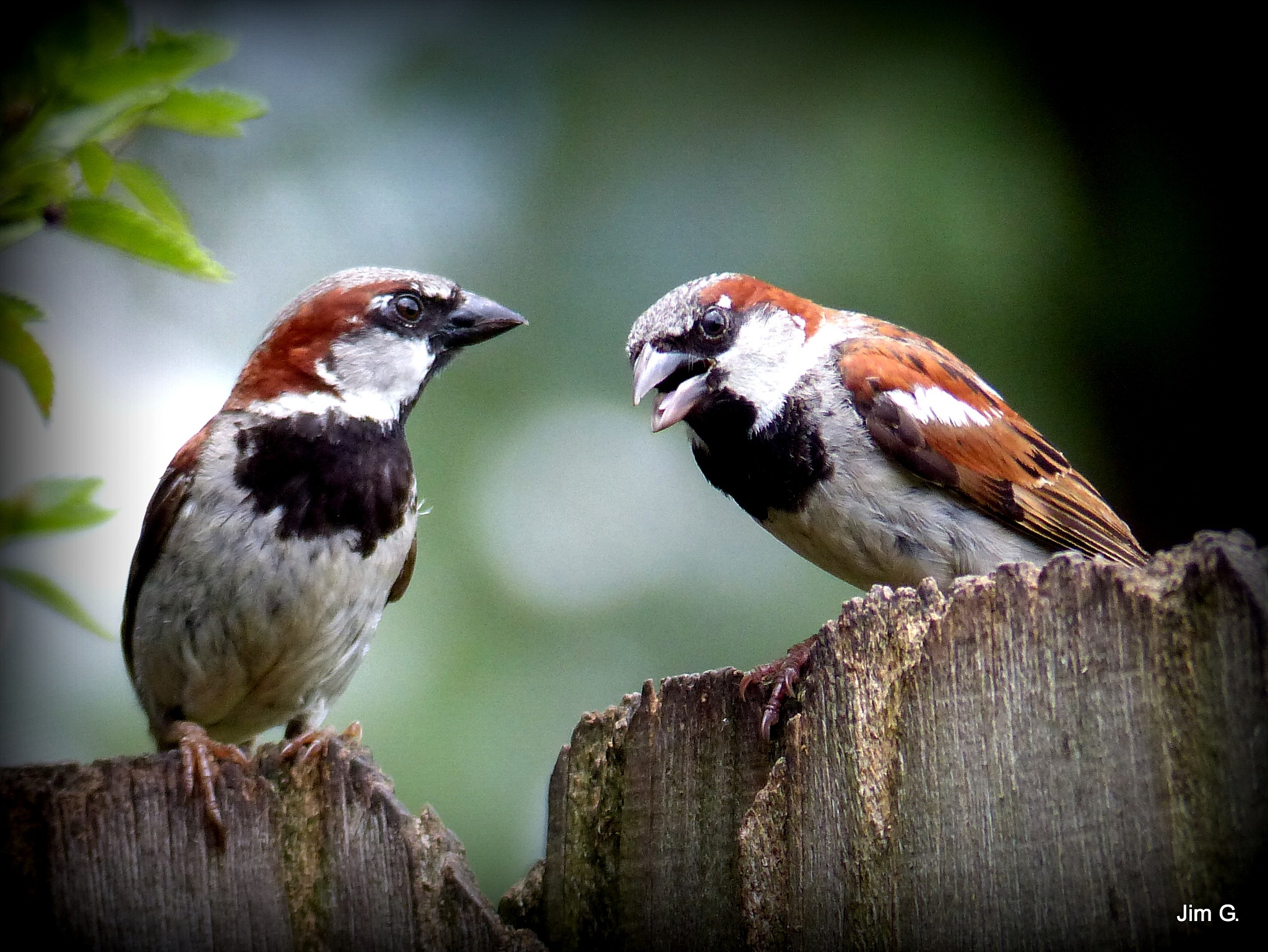 House Sparrows Arguing. The One on the Right is Winning. by Jim Graham