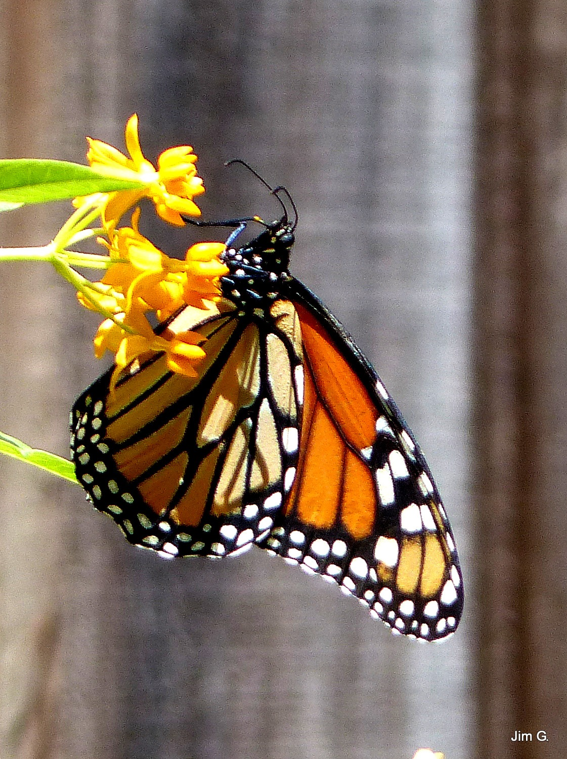 Monarch Butterfly by Jim Graham