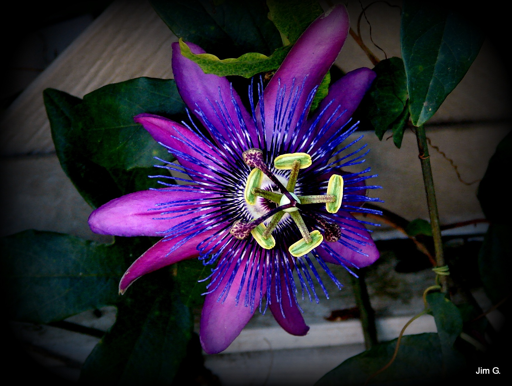 Another variety of passion flower by Jim Graham