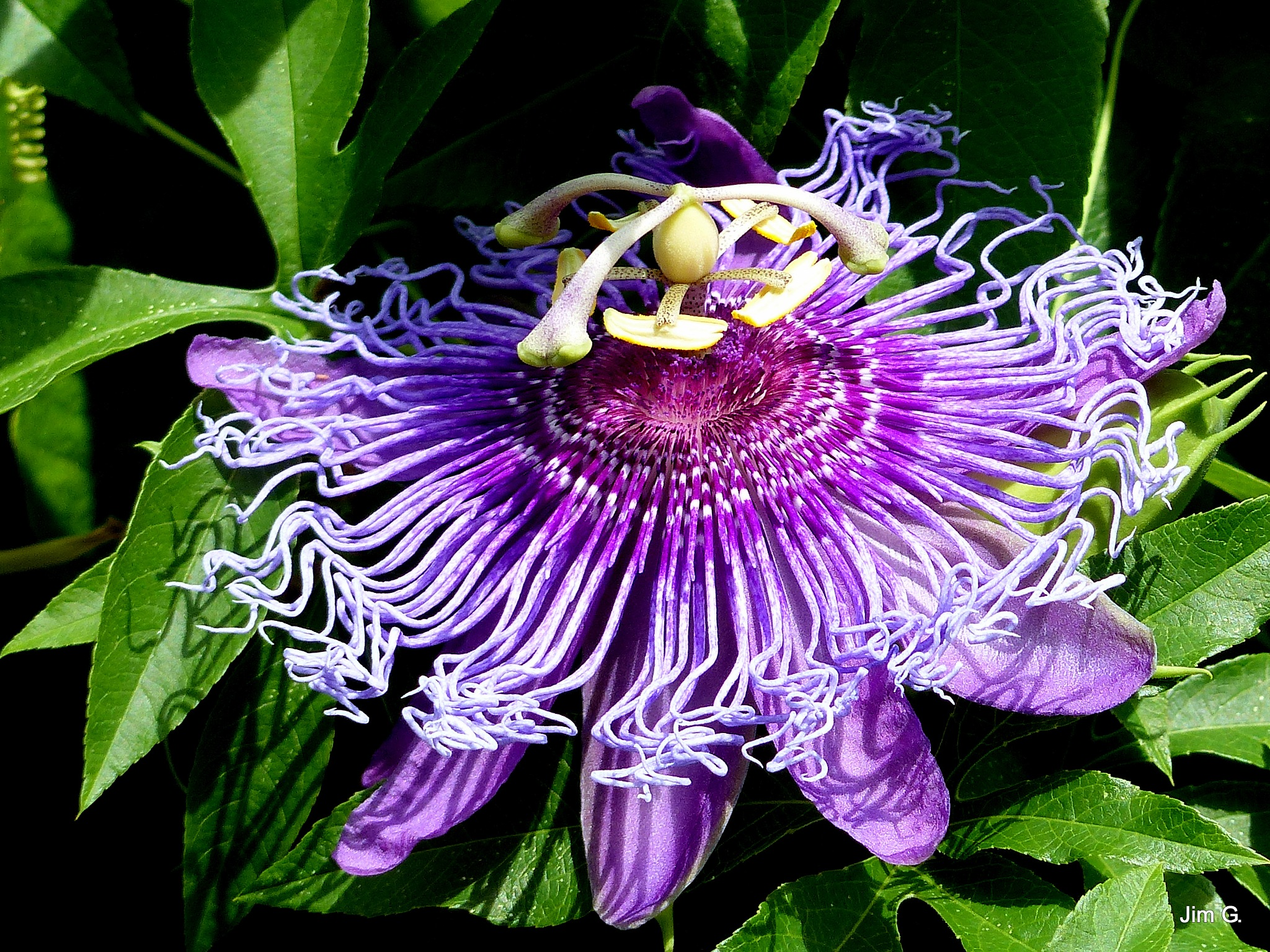 Passion Flower Vine Still Blooming in Florida by Jim Graham