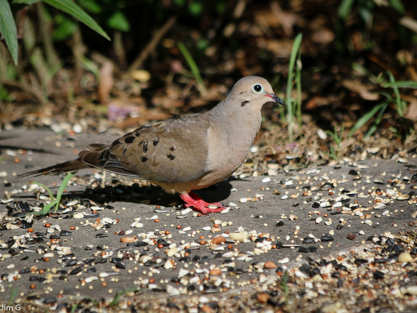 Mourning Dove by Jim Graham