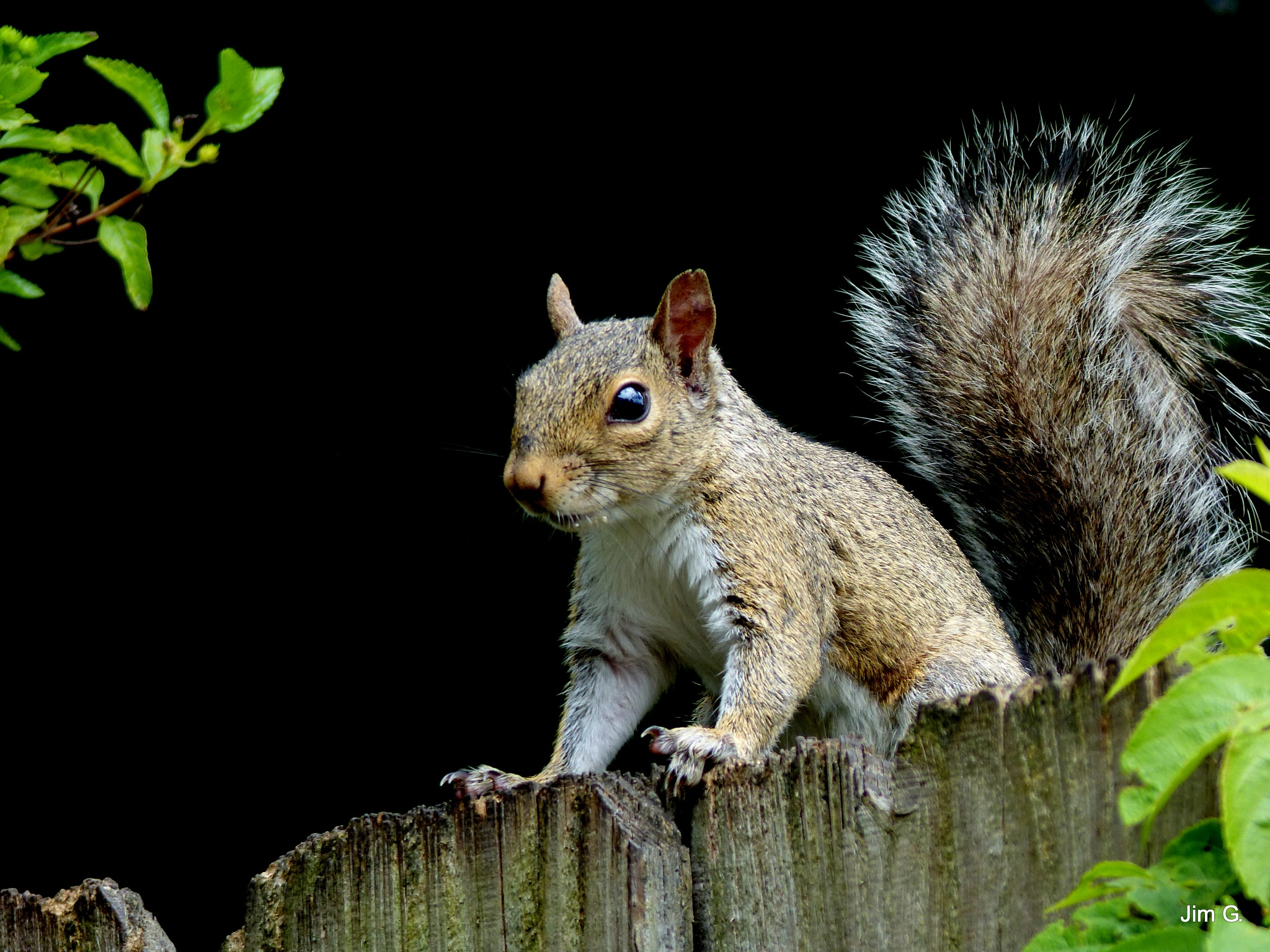 Squirrel with Black Background by Jim Graham