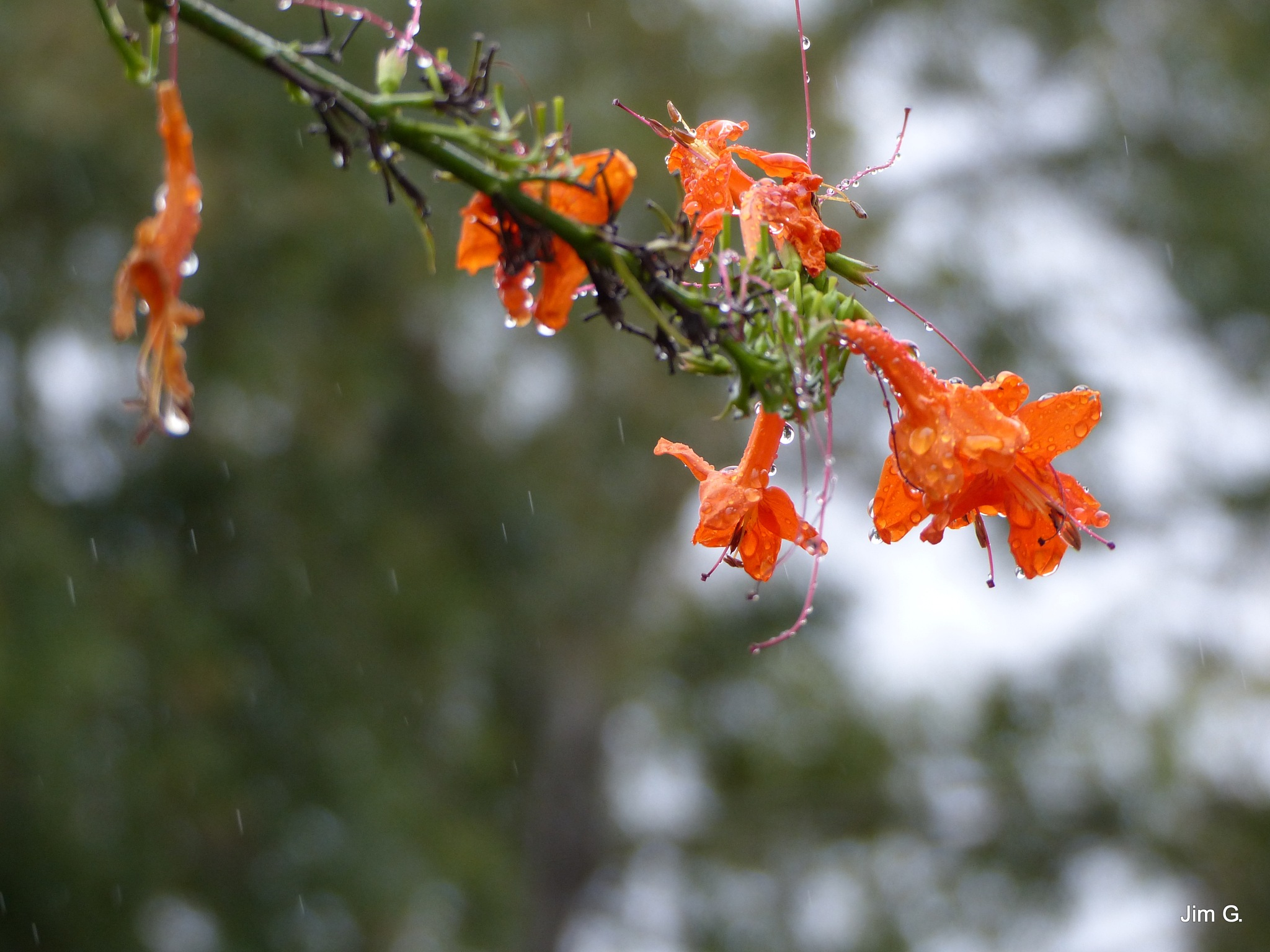 Honeysuckle in the rain by Jim Graham