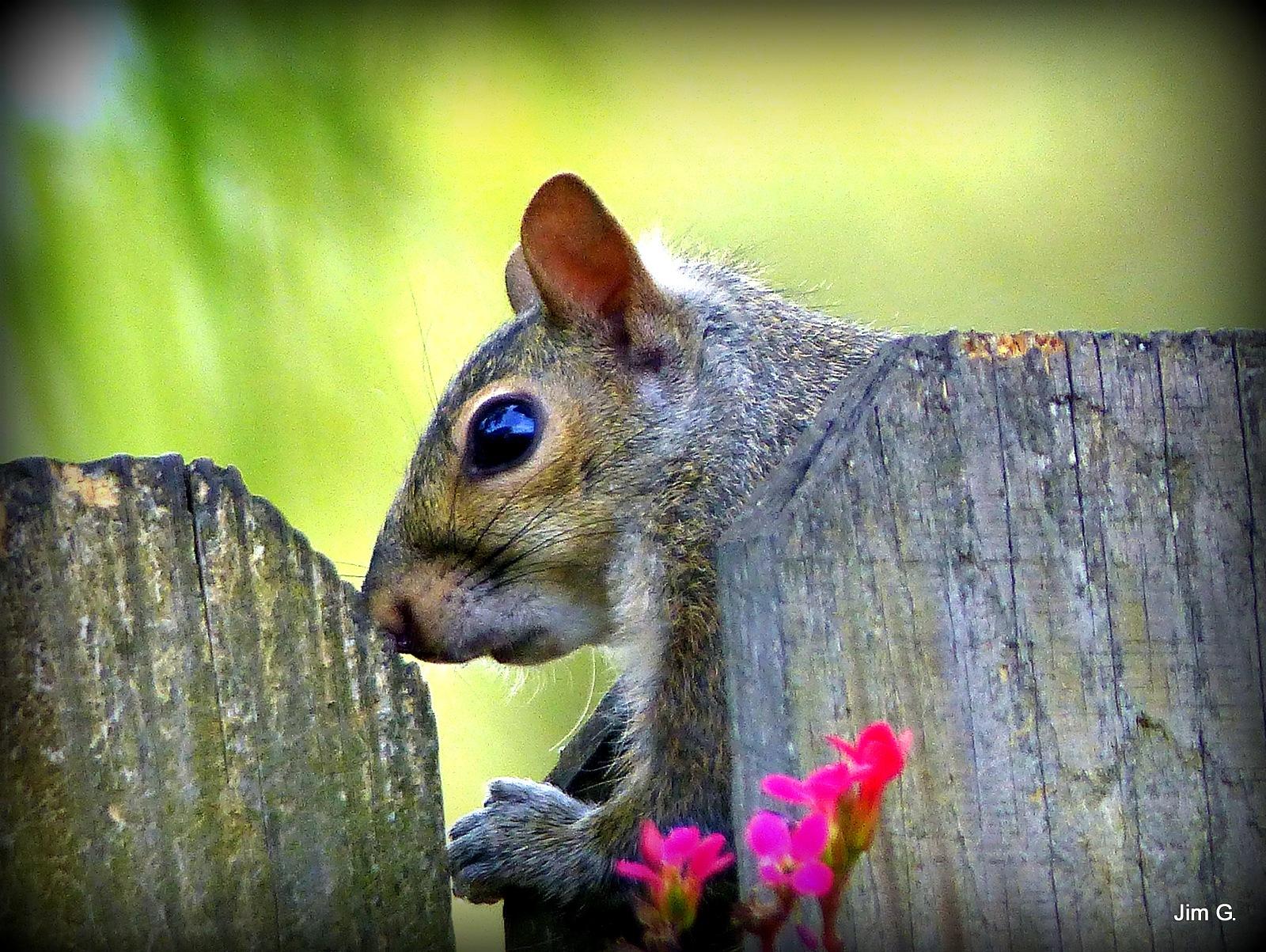 Squirrel Peeking by Jim Graham