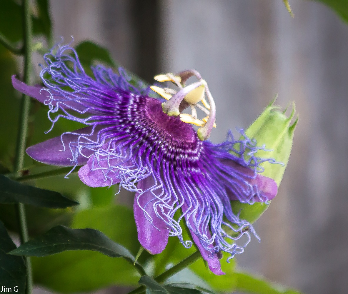 Passion Flower Bloom by Jim Graham