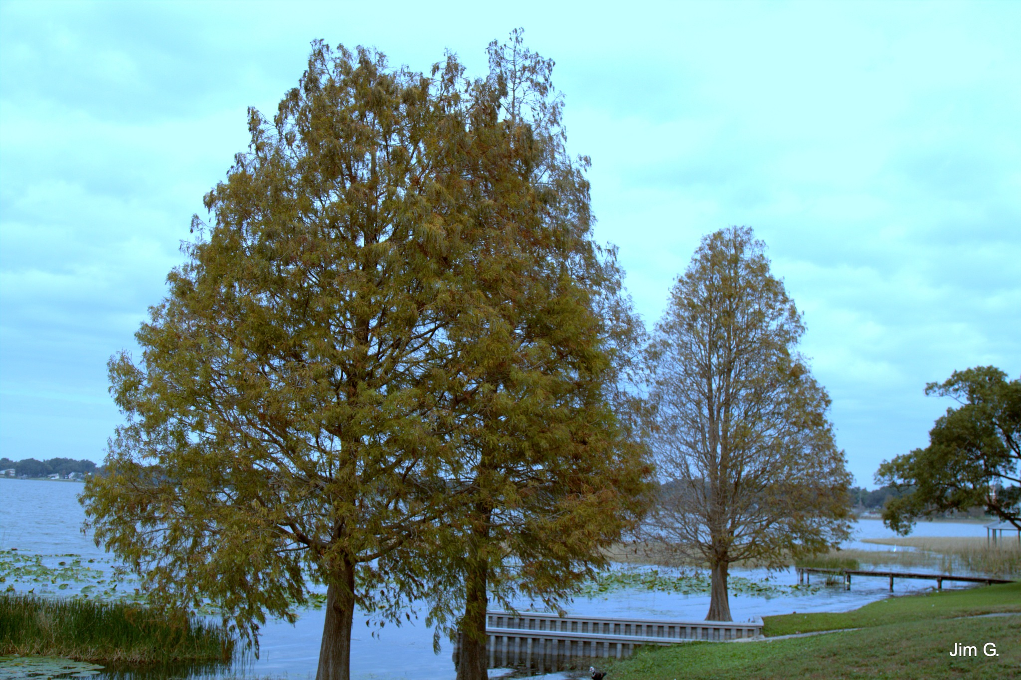 Cypress Trees at the Lake by Jim Graham
