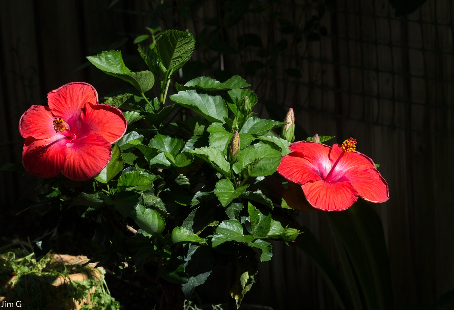 Twin Hibiscus Blooms by Jim Graham