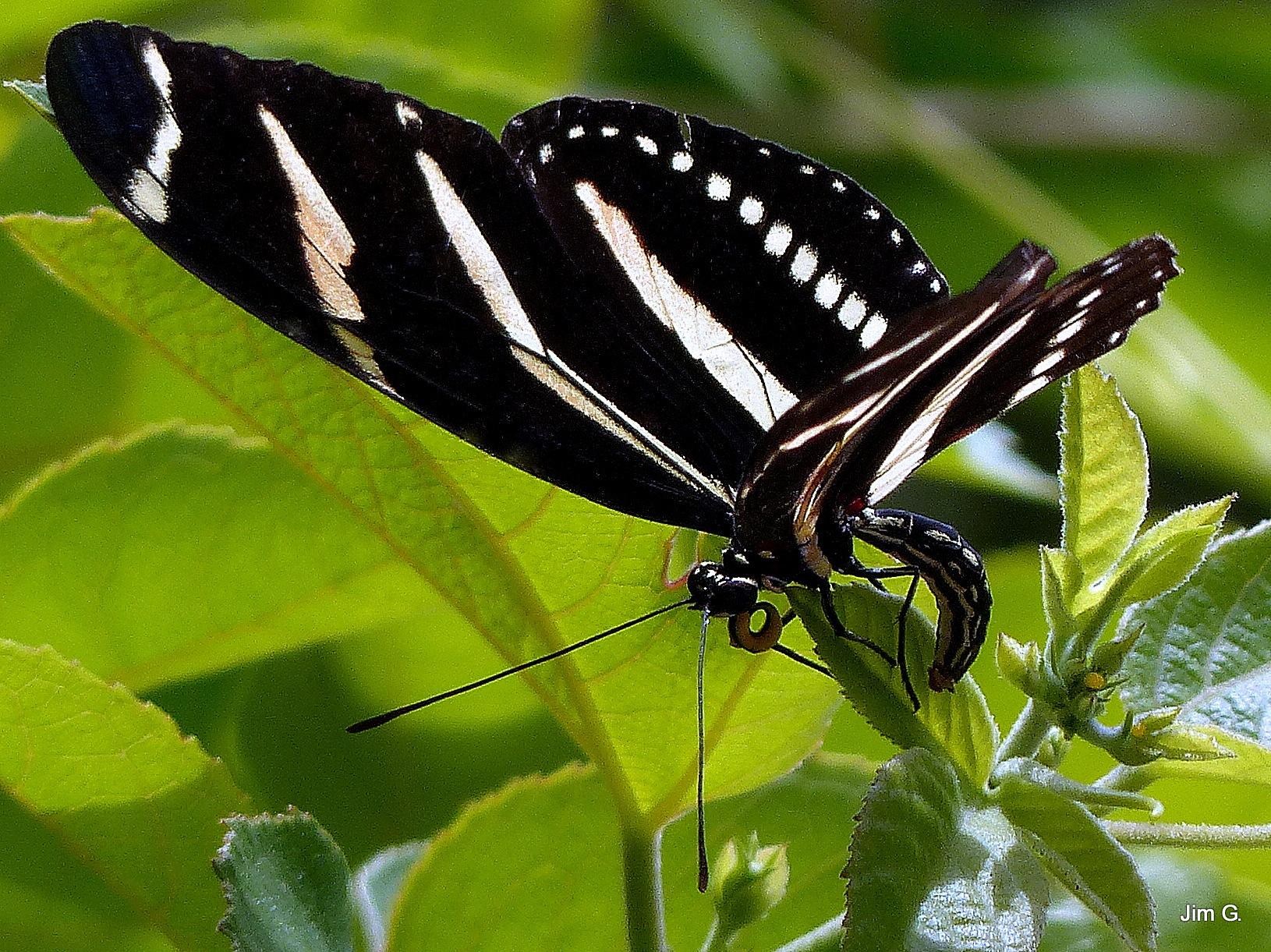 Zebra Longwings now feeding by Jim Graham