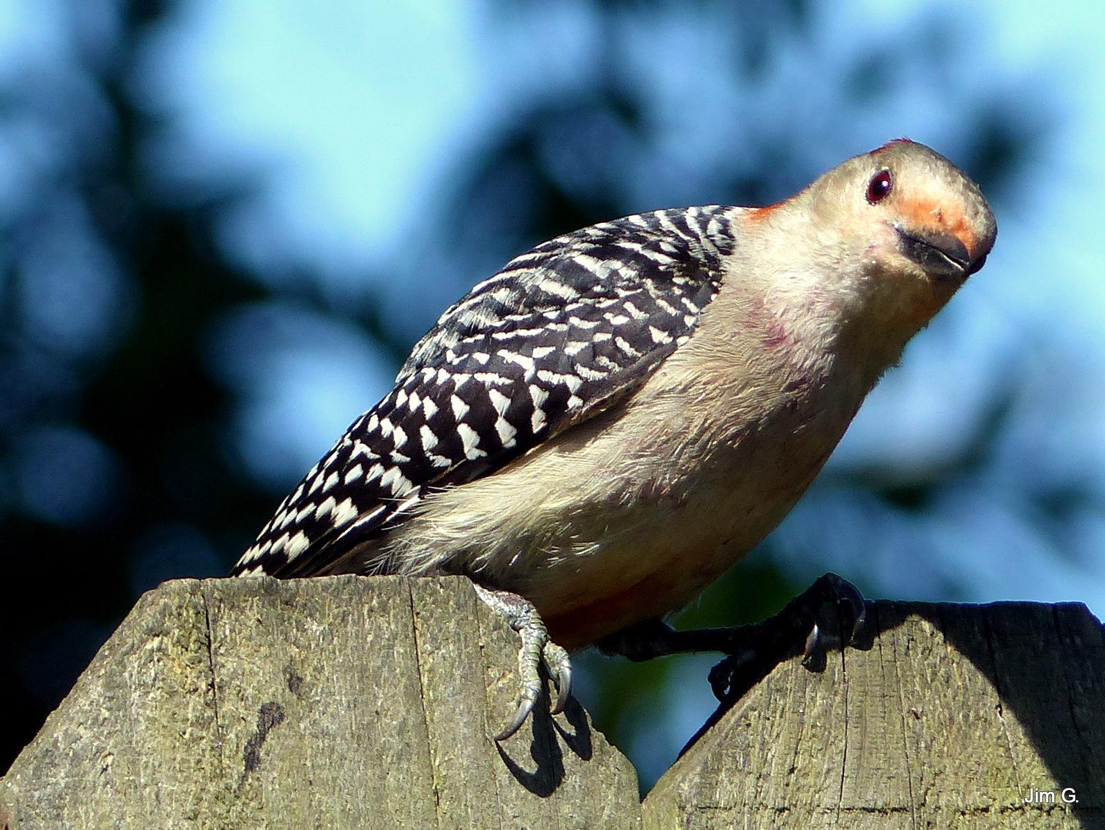 Mrs. Woodpecker by Jim Graham