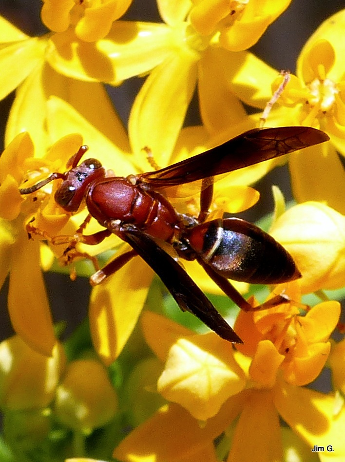Wasp in Butter Bush by Jim Graham